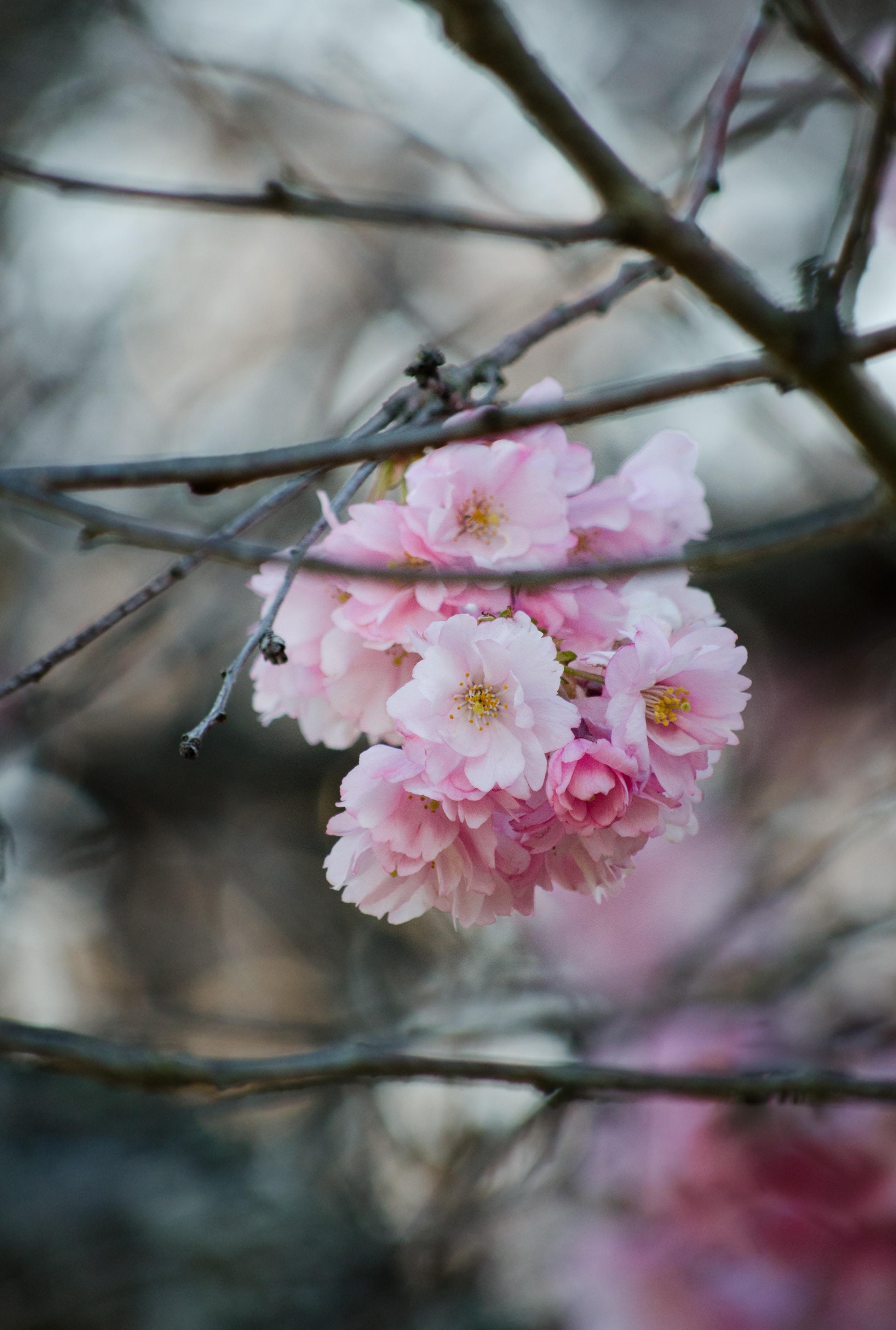 Pink flower blossom bunch on branch in Spring
