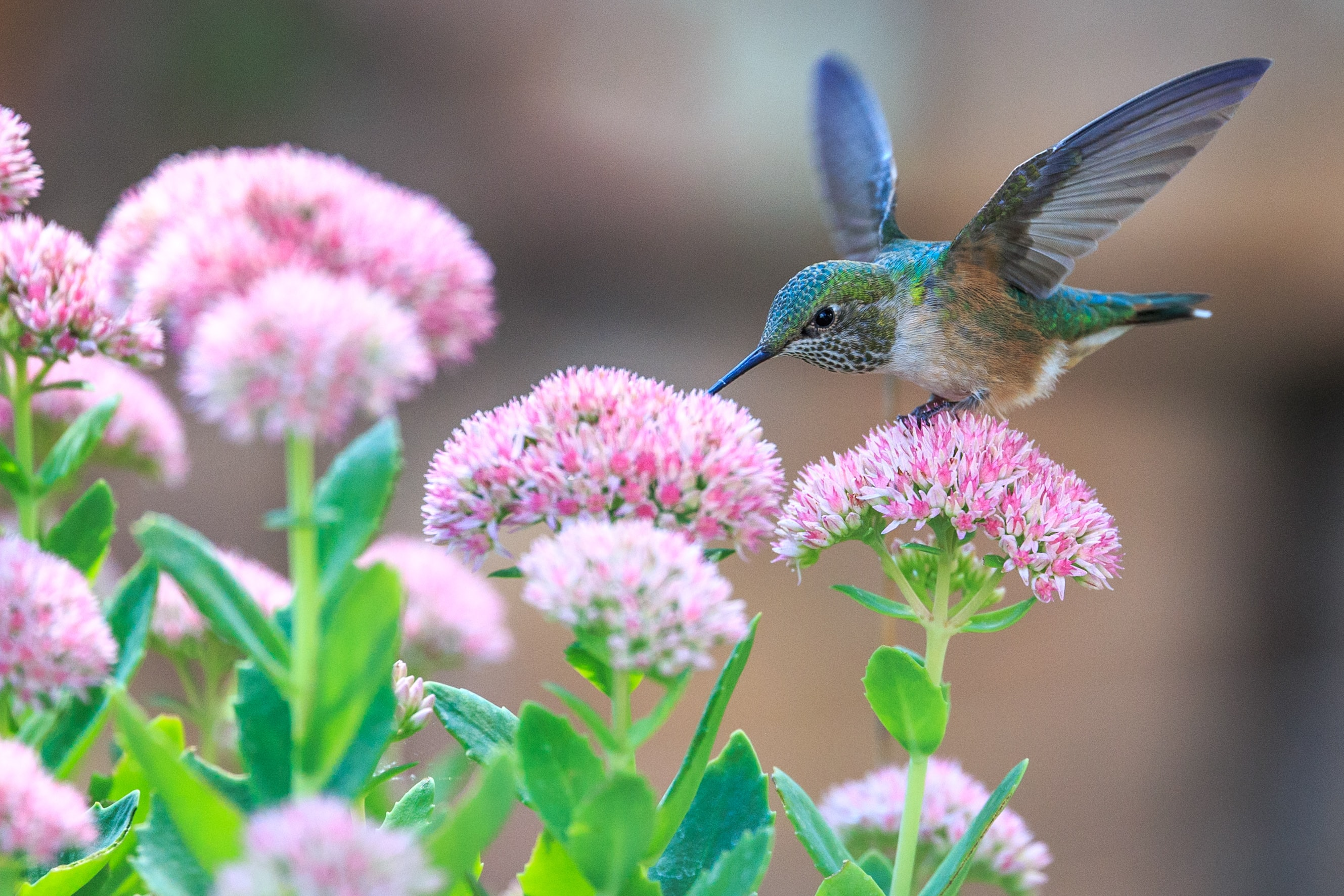 Hummingbird landing on pink flower with green stem