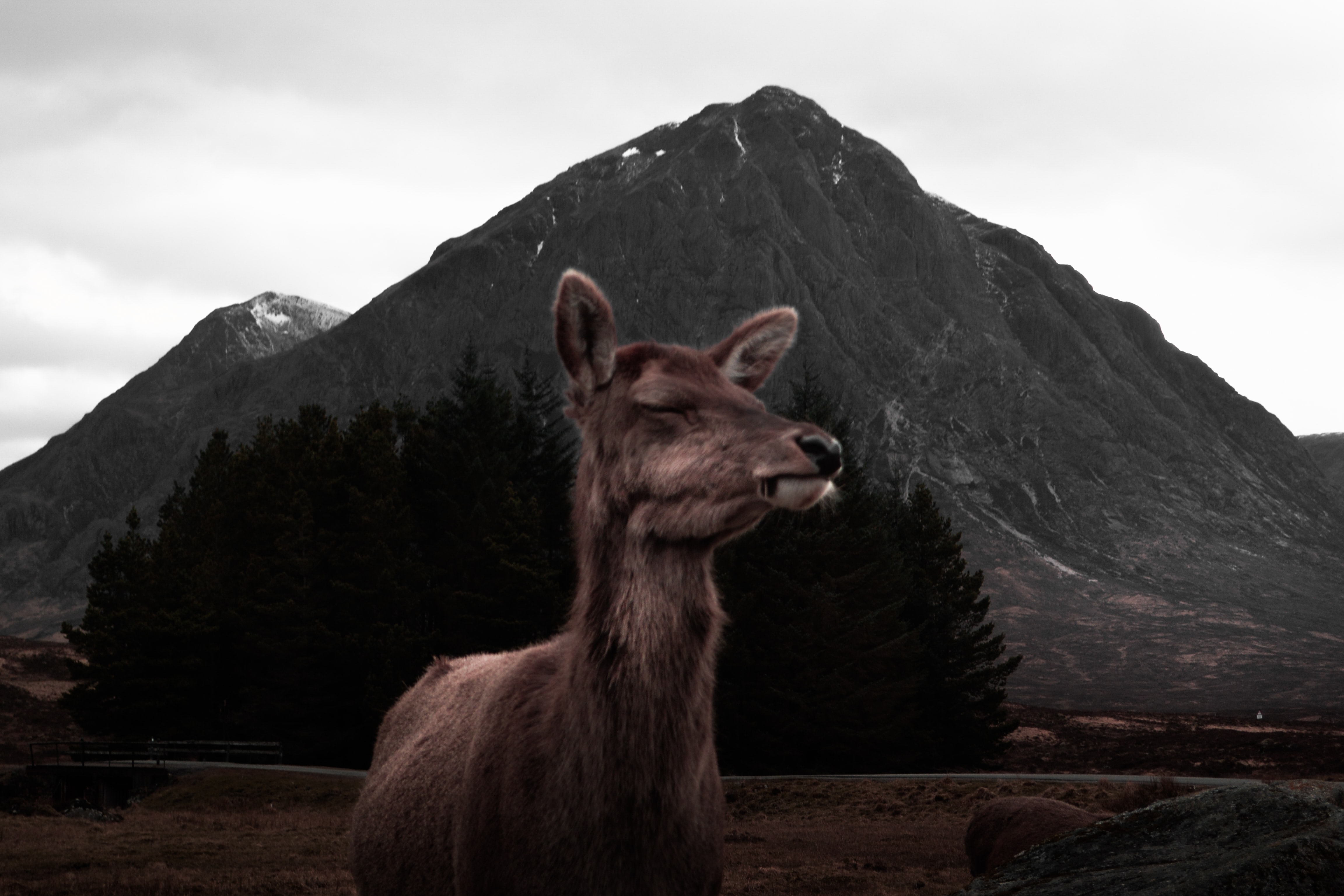 Close-up of a deer with its eyes closed near a conical mountain in Glencoe