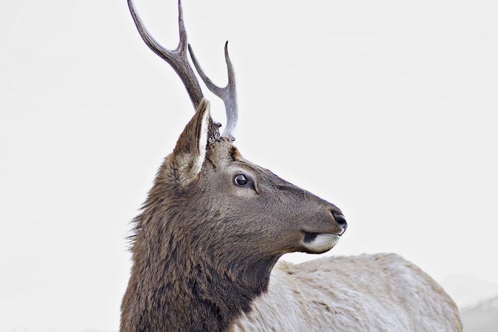 gray horned animal