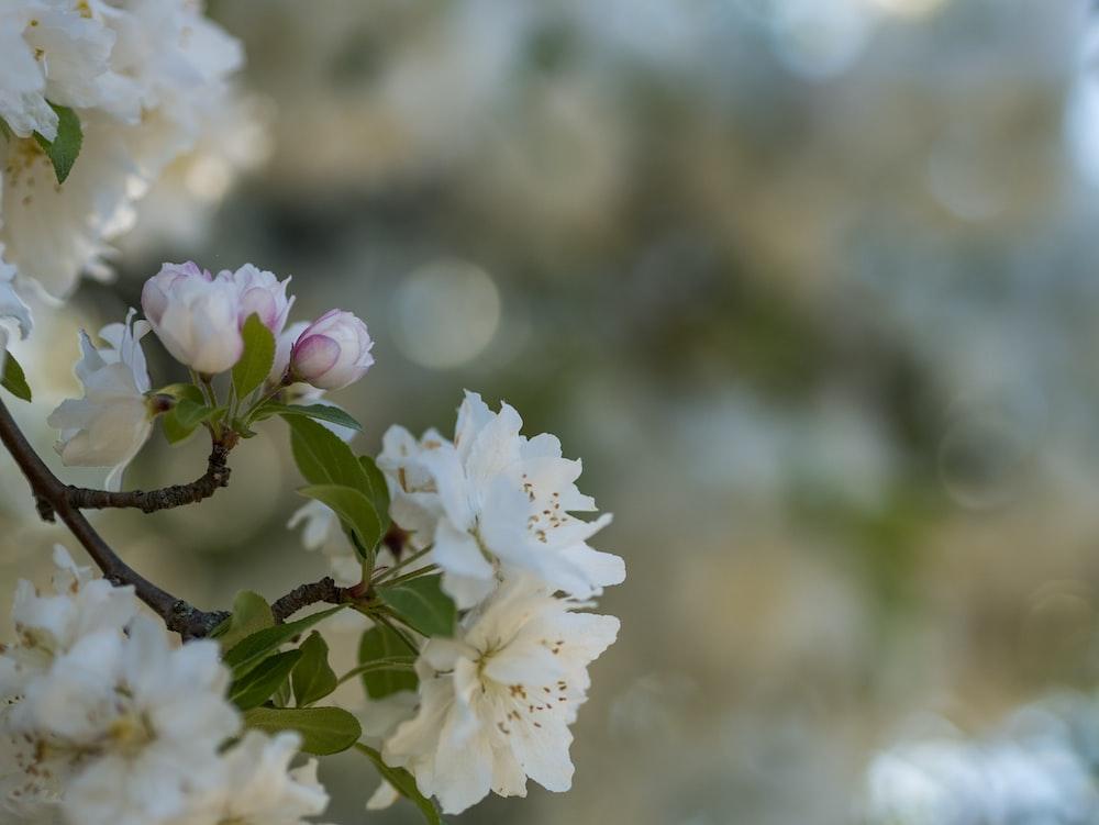 white petaled flowers blooming