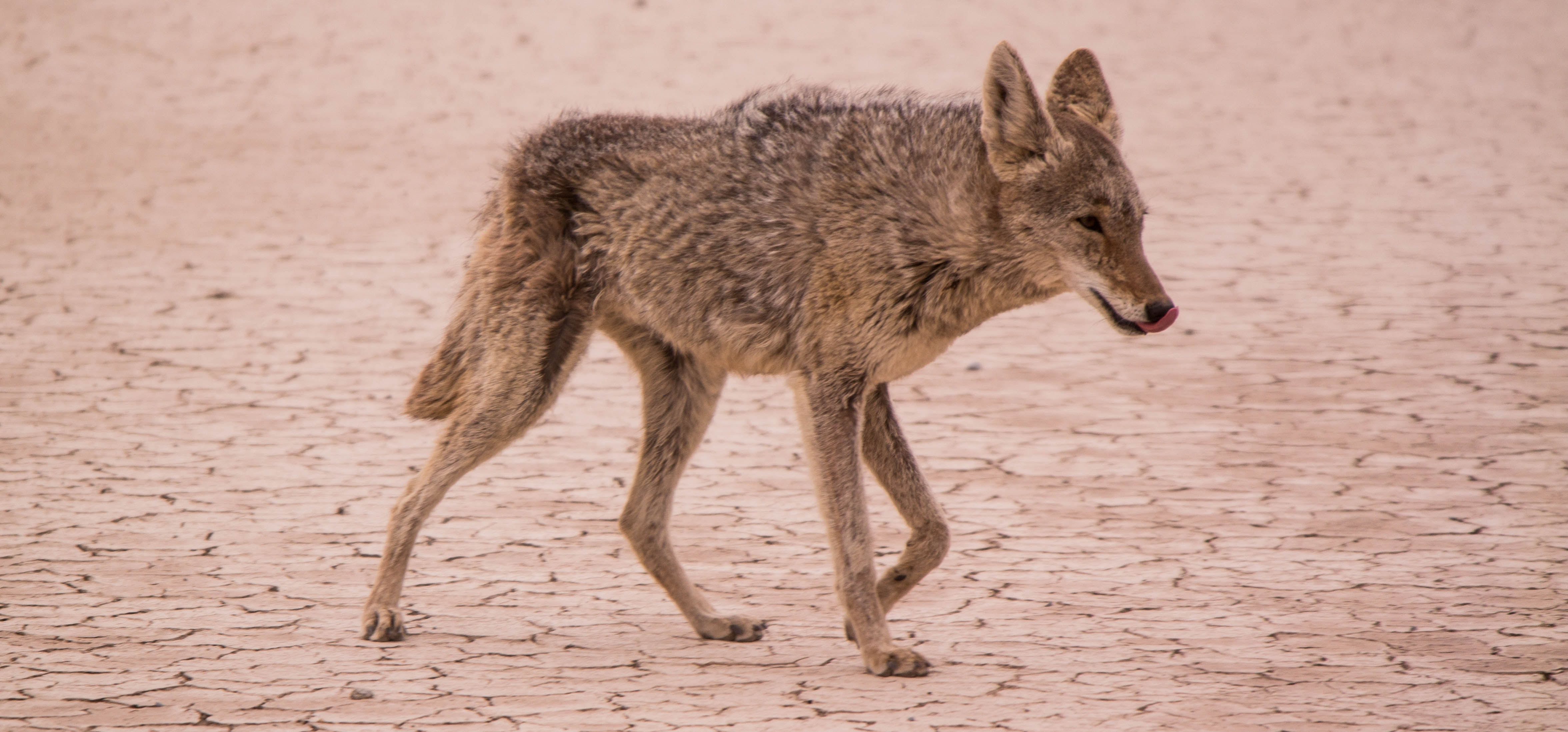 A coyote licking its lips as it walks across a barren wasteland