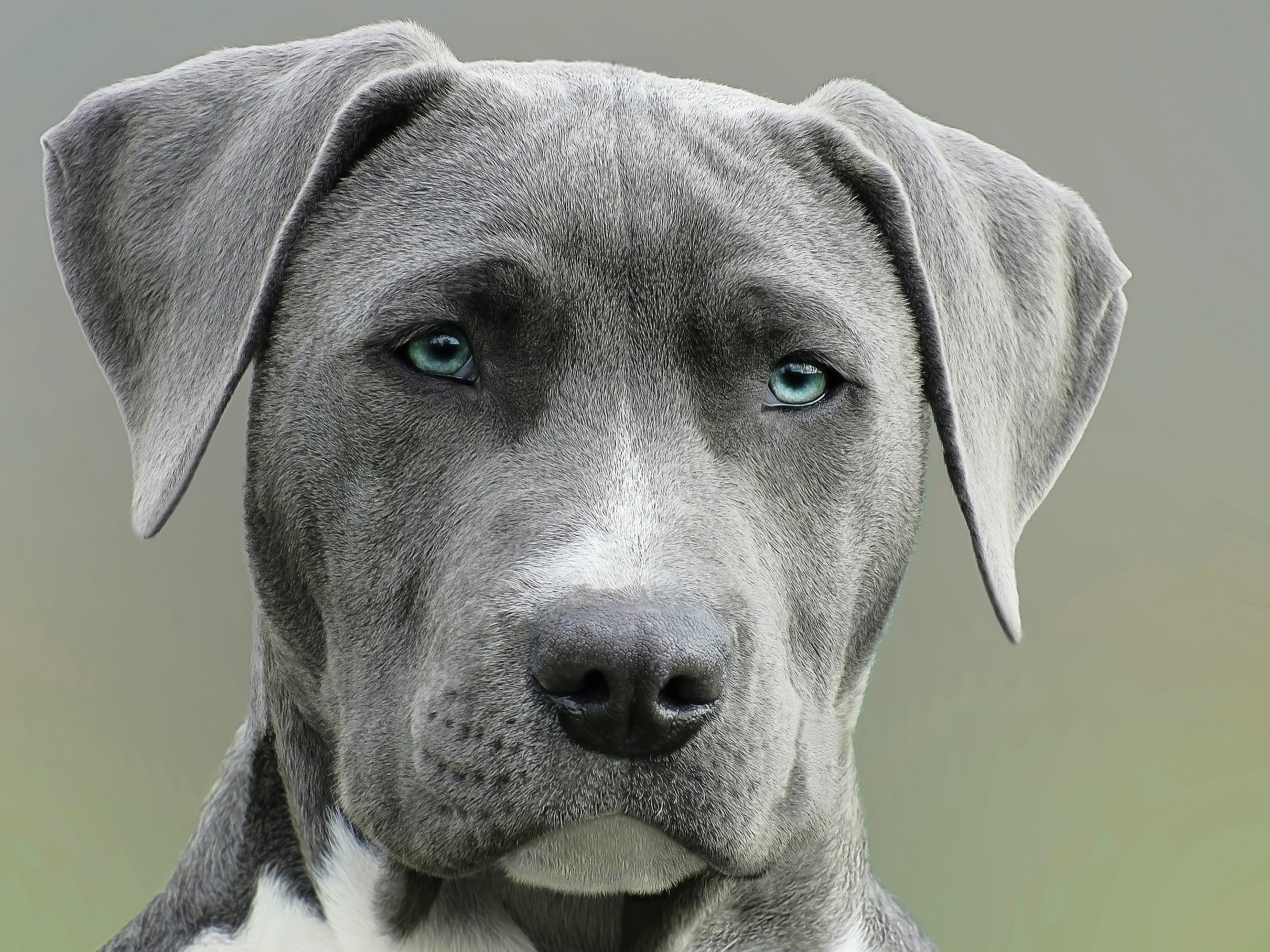 Gray Weimaraner dog with blue eyes stares obediently