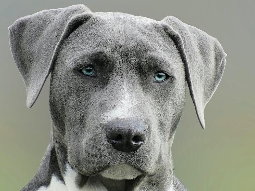 Dog With Blue Eyes And Grey Coat