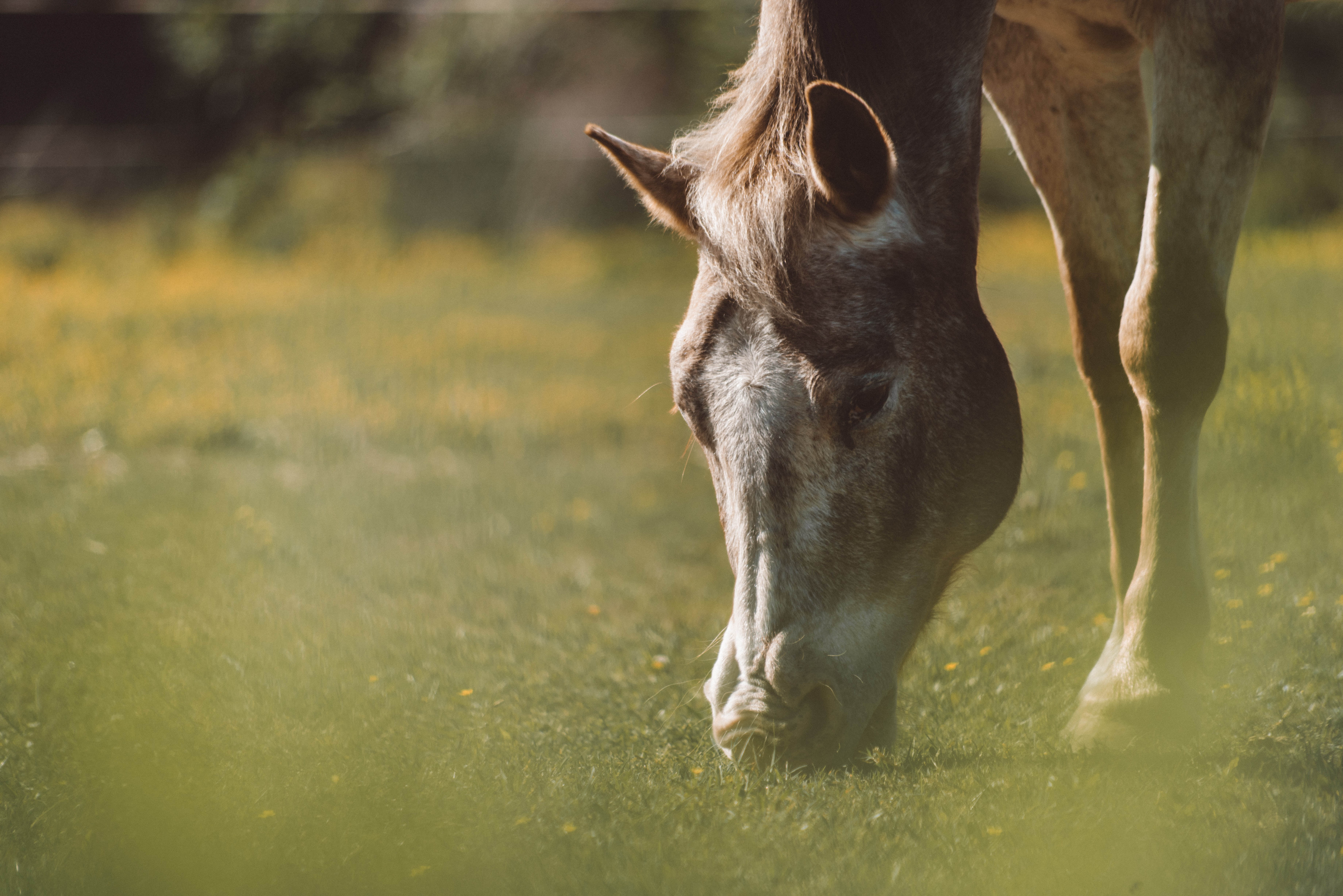 A fuzzy shot of a gray horse grazing on green grass with specks of yellow flowers