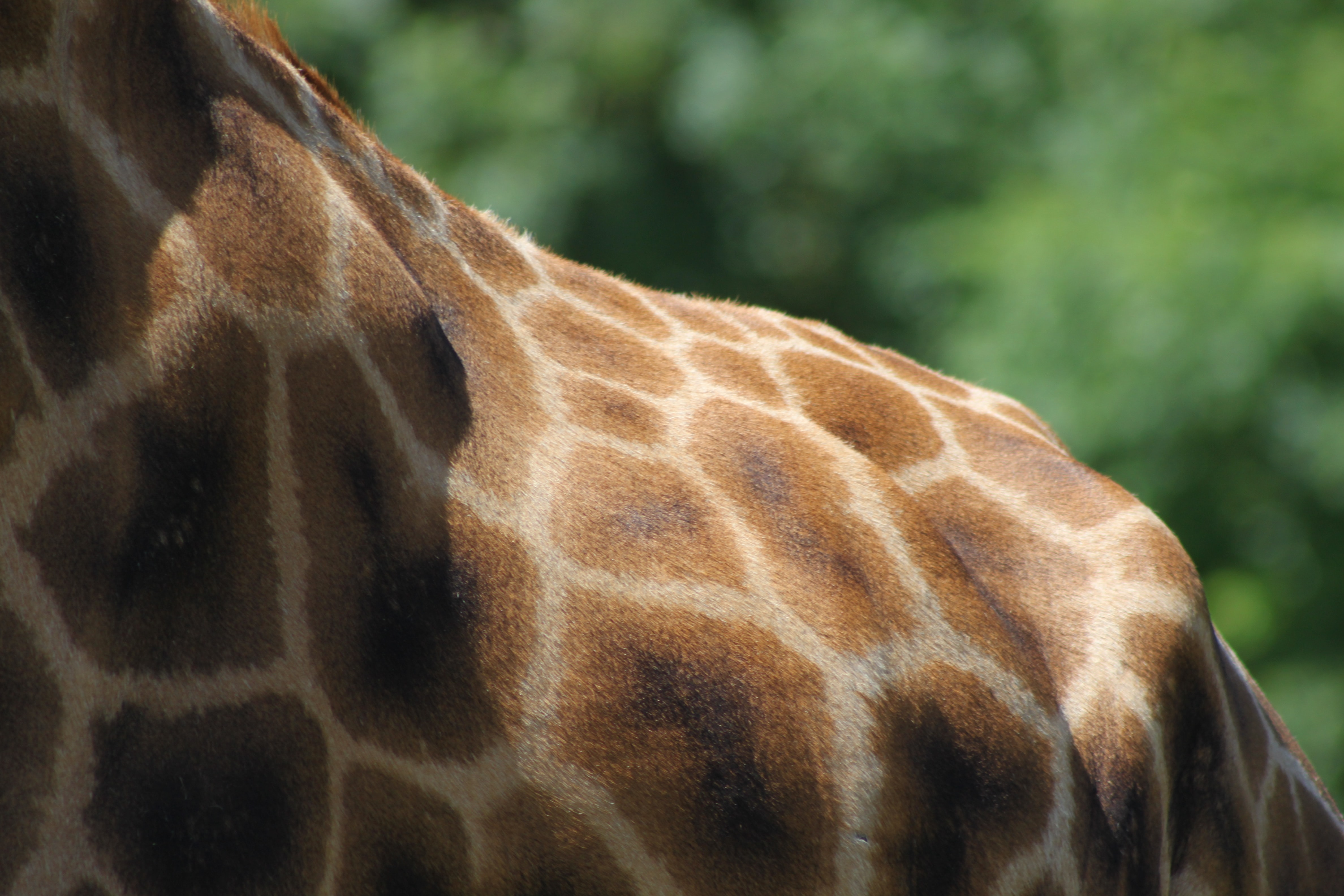 giraffe back during daytime
