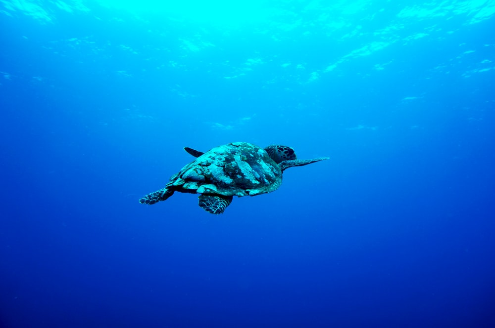 gray turtle swimming under the sea