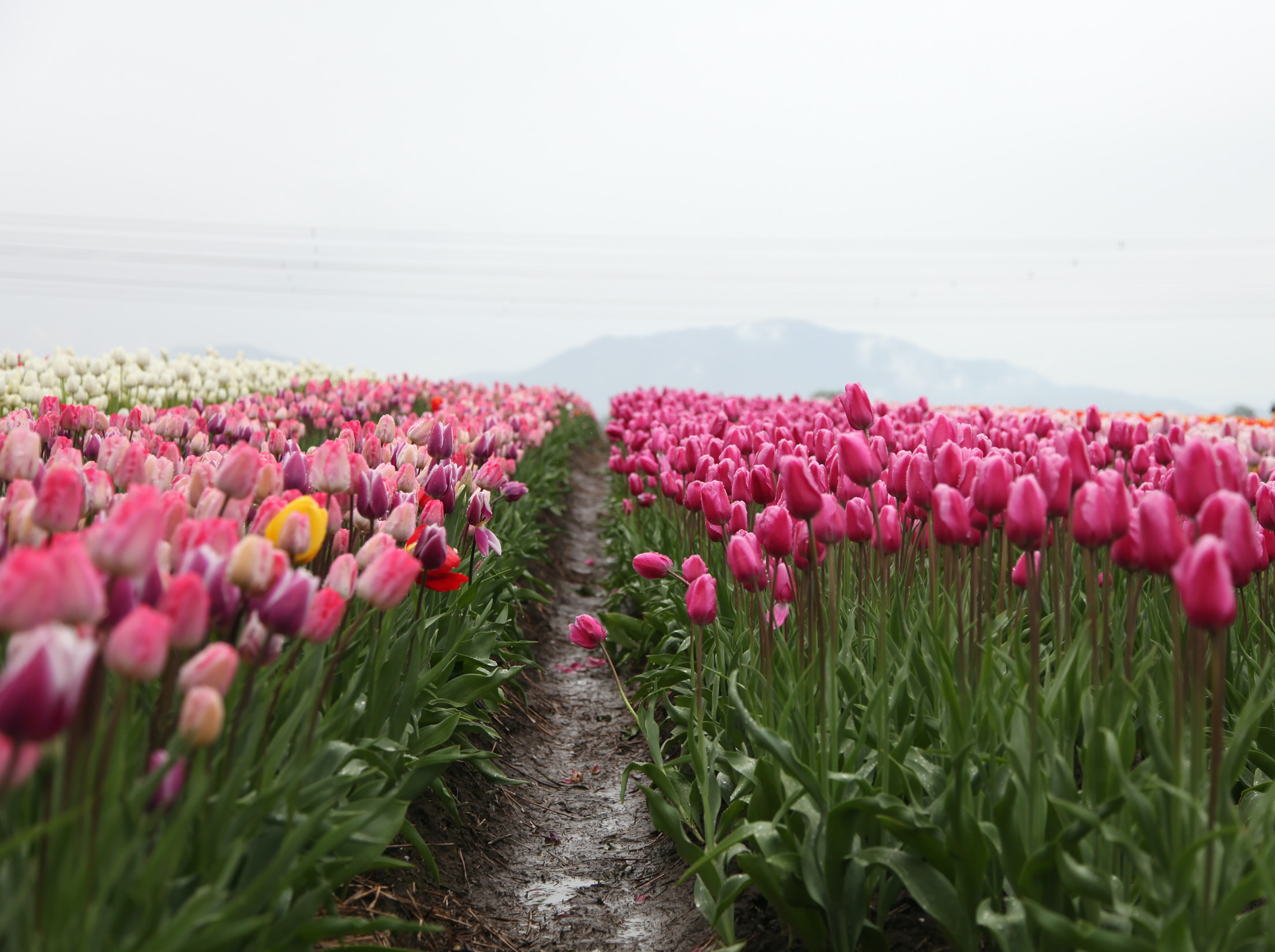 Field of pink and white tulips by the mountain