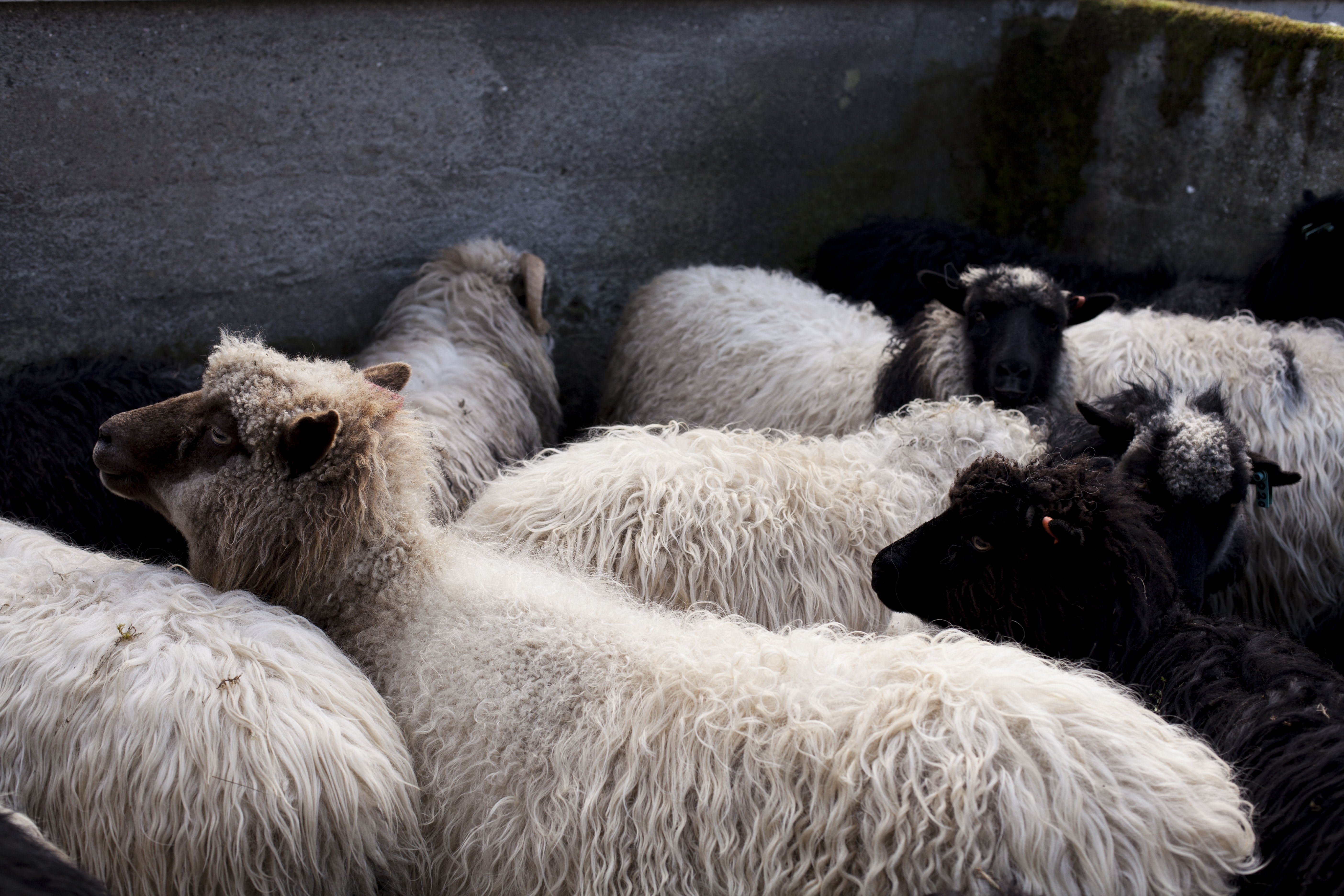 white and black sheeps