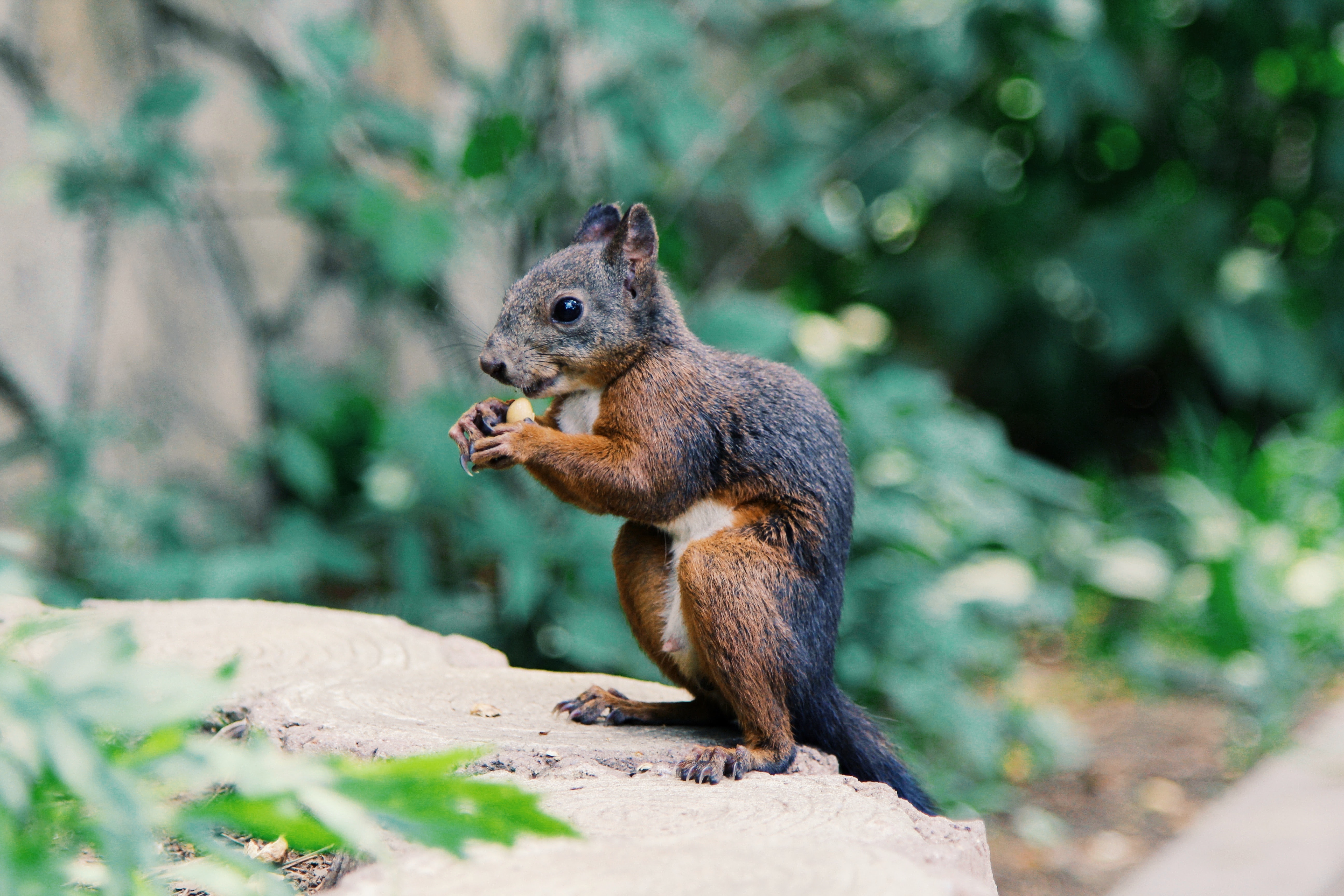 Cute squirrel eating a seed outside