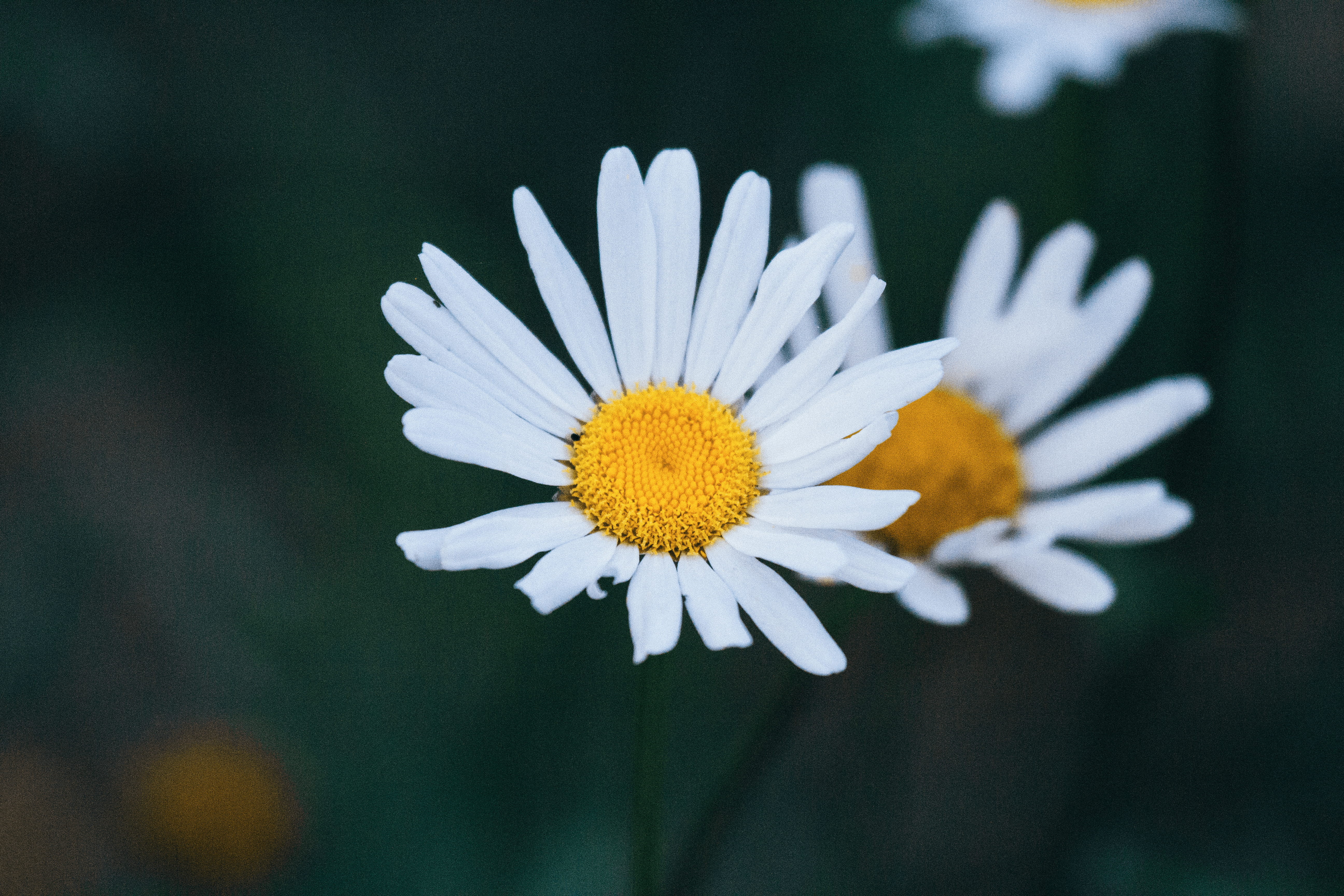 Daisies bloom in the wild