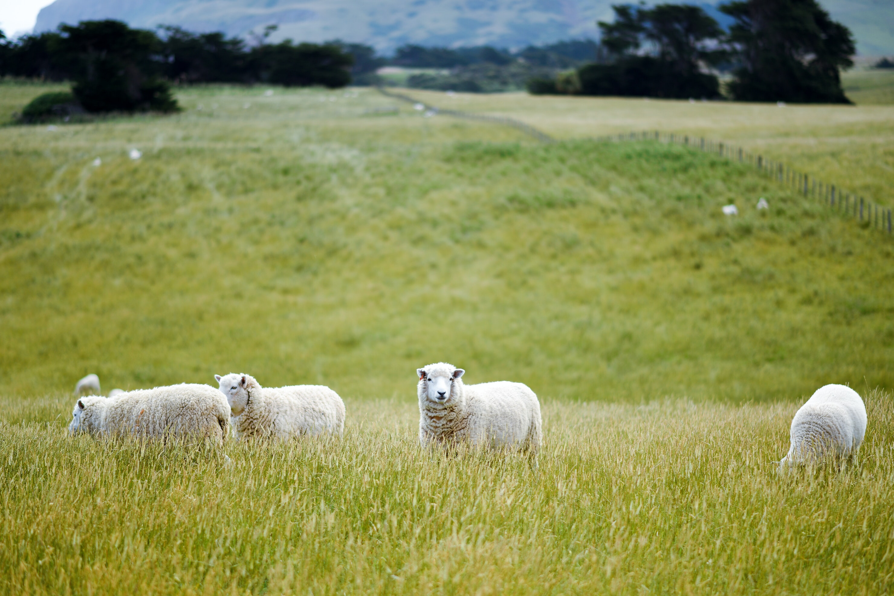 Sheep graze in a grassy hillside in New Zealand