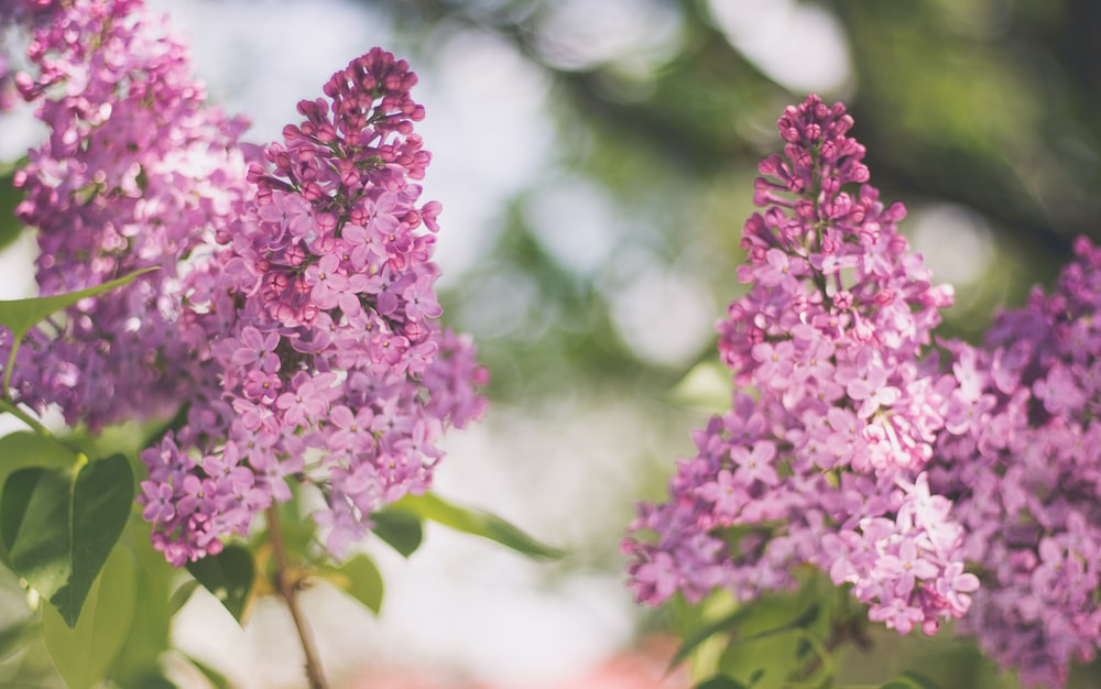Lilac and pink flower in full bloom with green leaves in Spring
