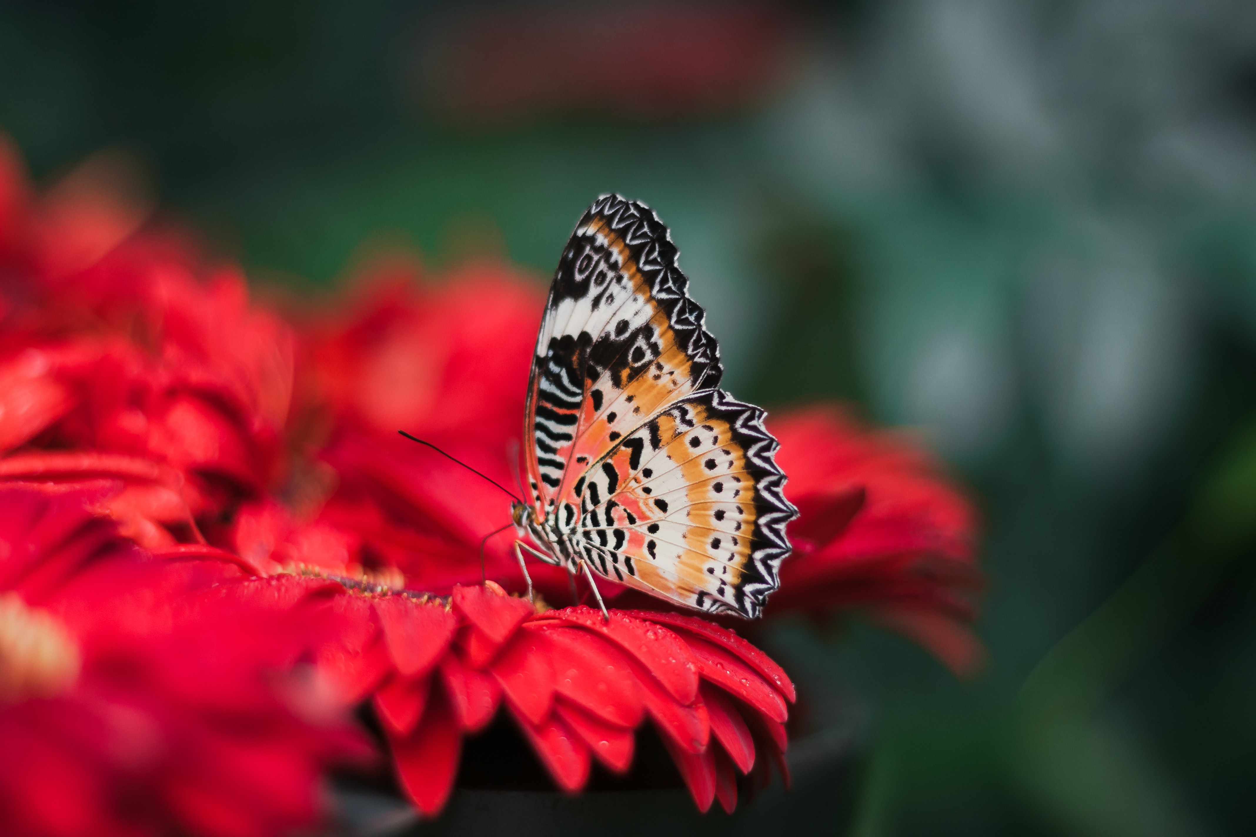A macro shot of a colorful butterfly on a red flower