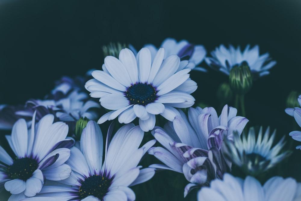 white daisy flowers in closeup shot