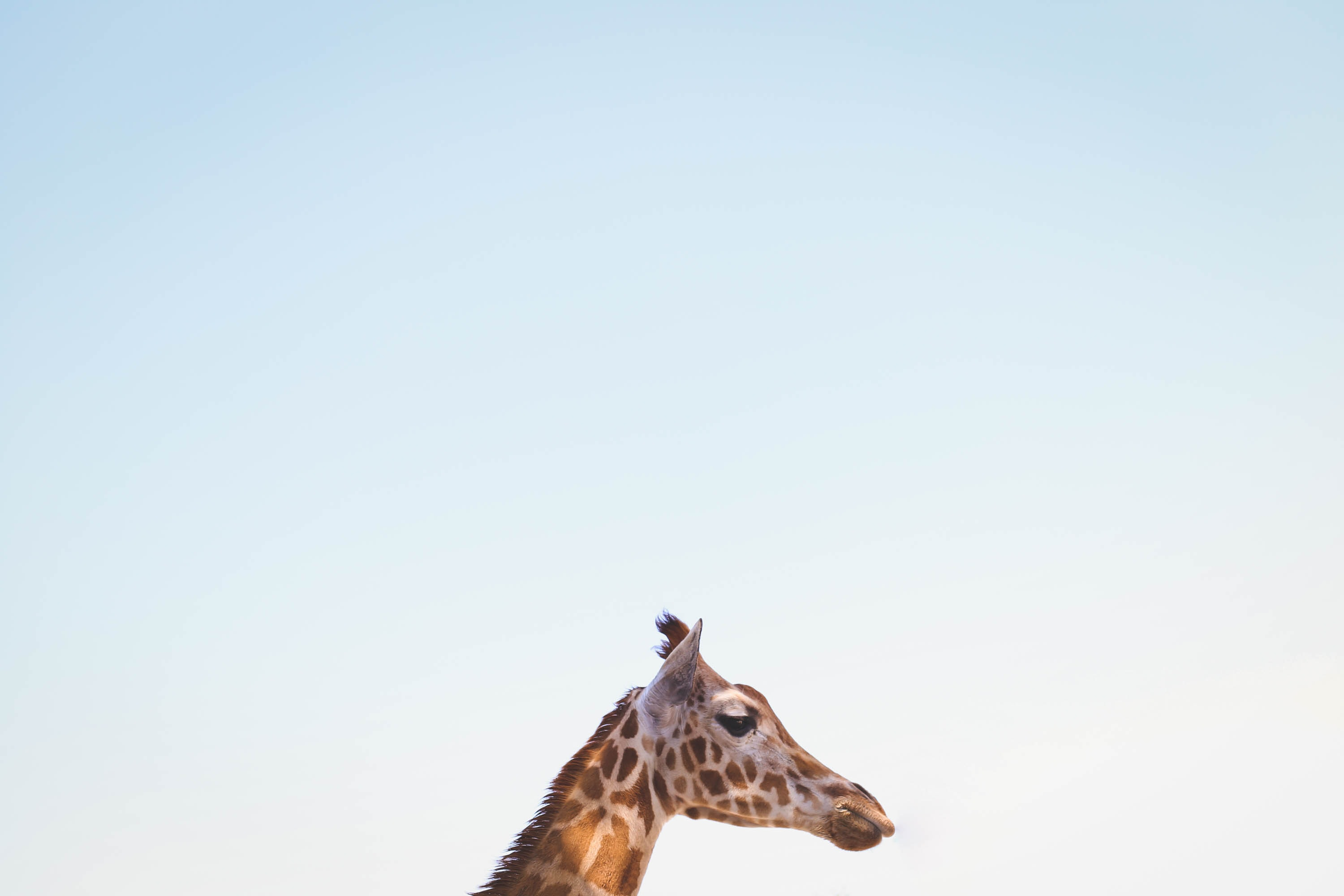 photo of giraffe