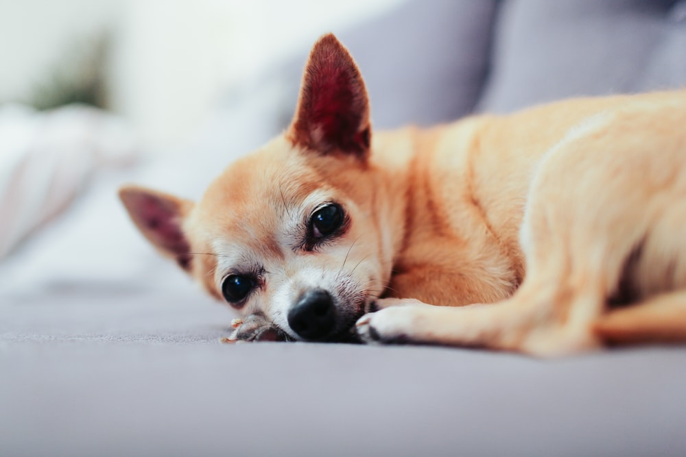 tan chihuahua lying on couch