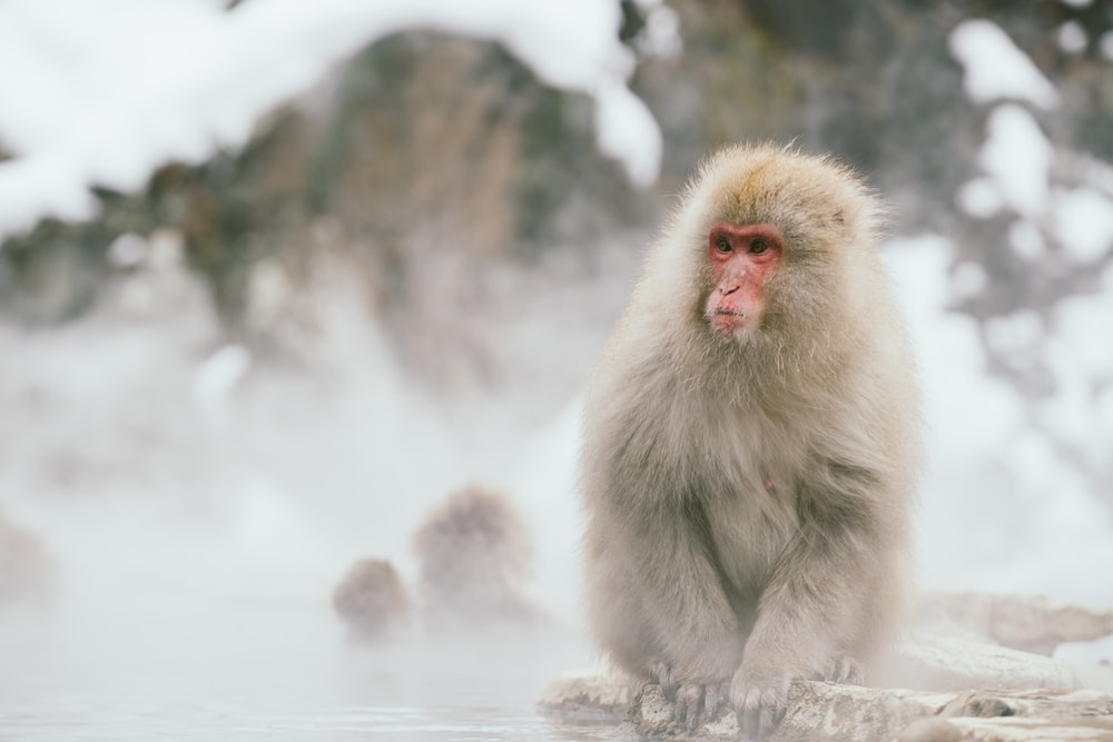 Japanese macaque sitting on rock selective focus photography