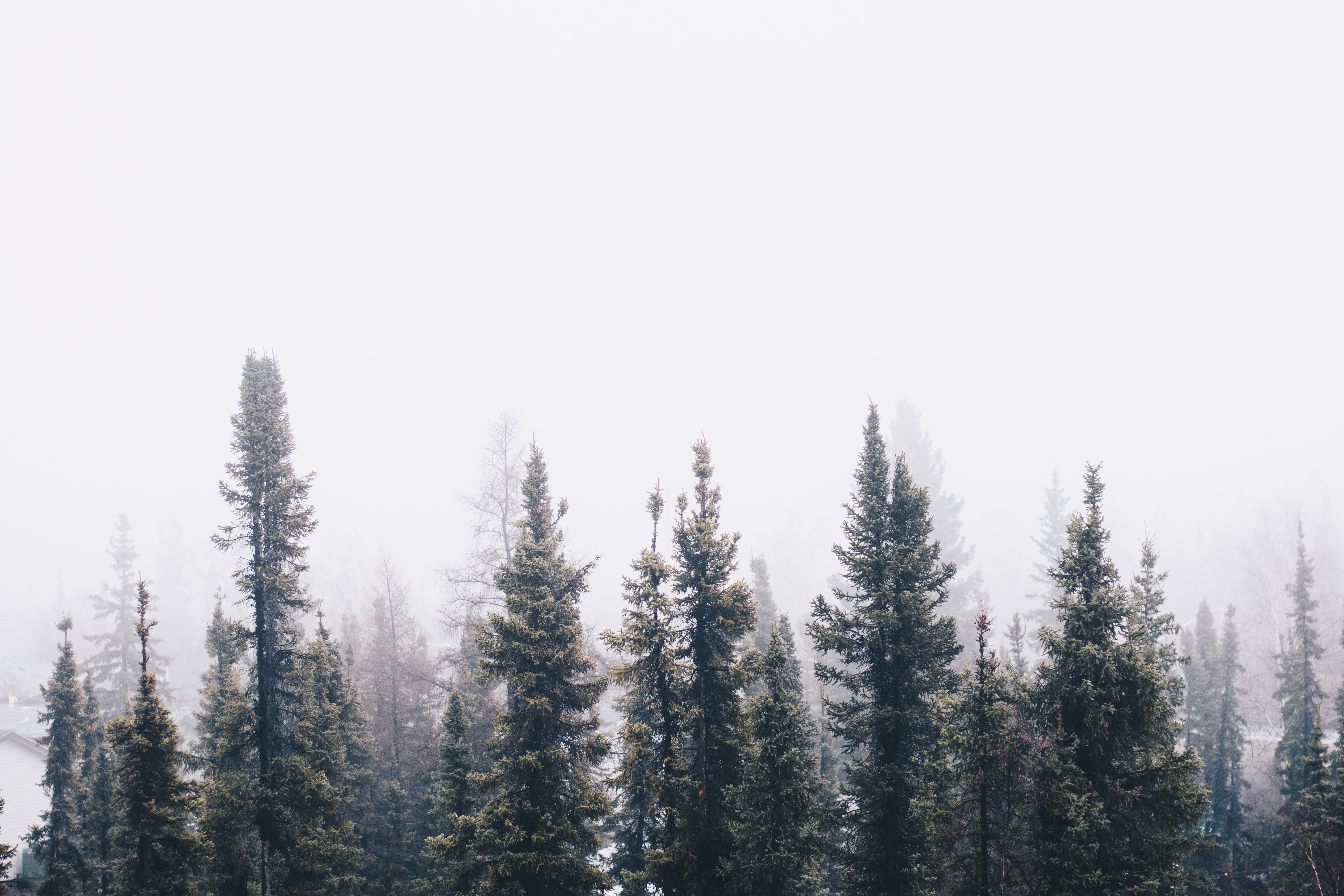 Foggy sky over forest of evergreens in the winter