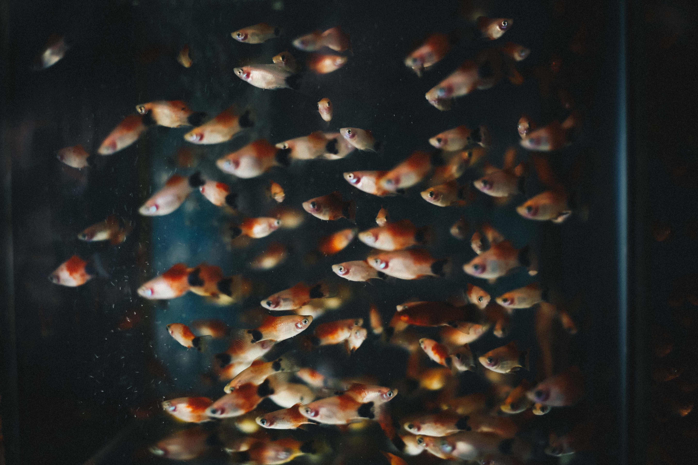 Small orange fish in an aquarium
