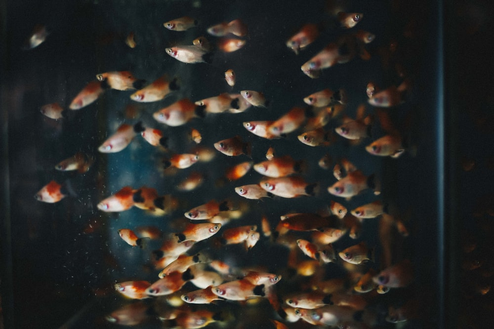 shoal of pet fish