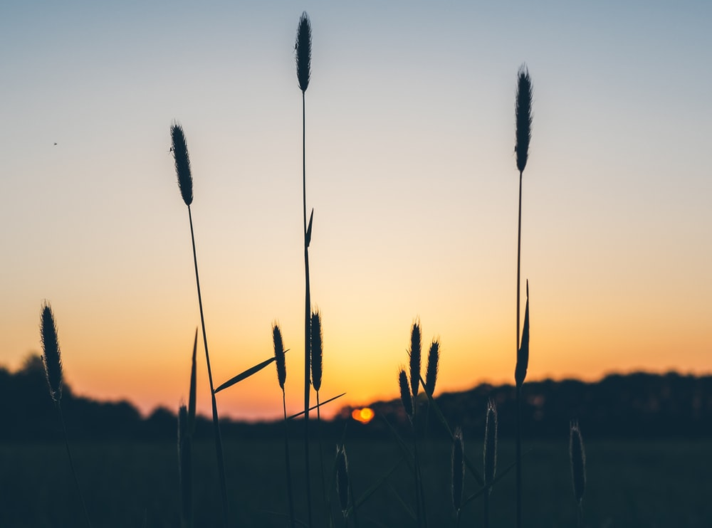 silhouette of plants at golden hour