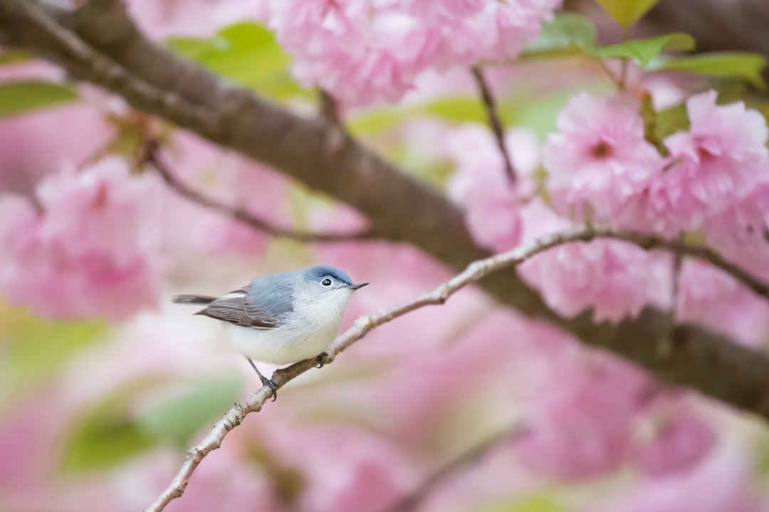 A Blue-gray Gnatcatcher sits perched in a beautiful pink cherry blossom tree.