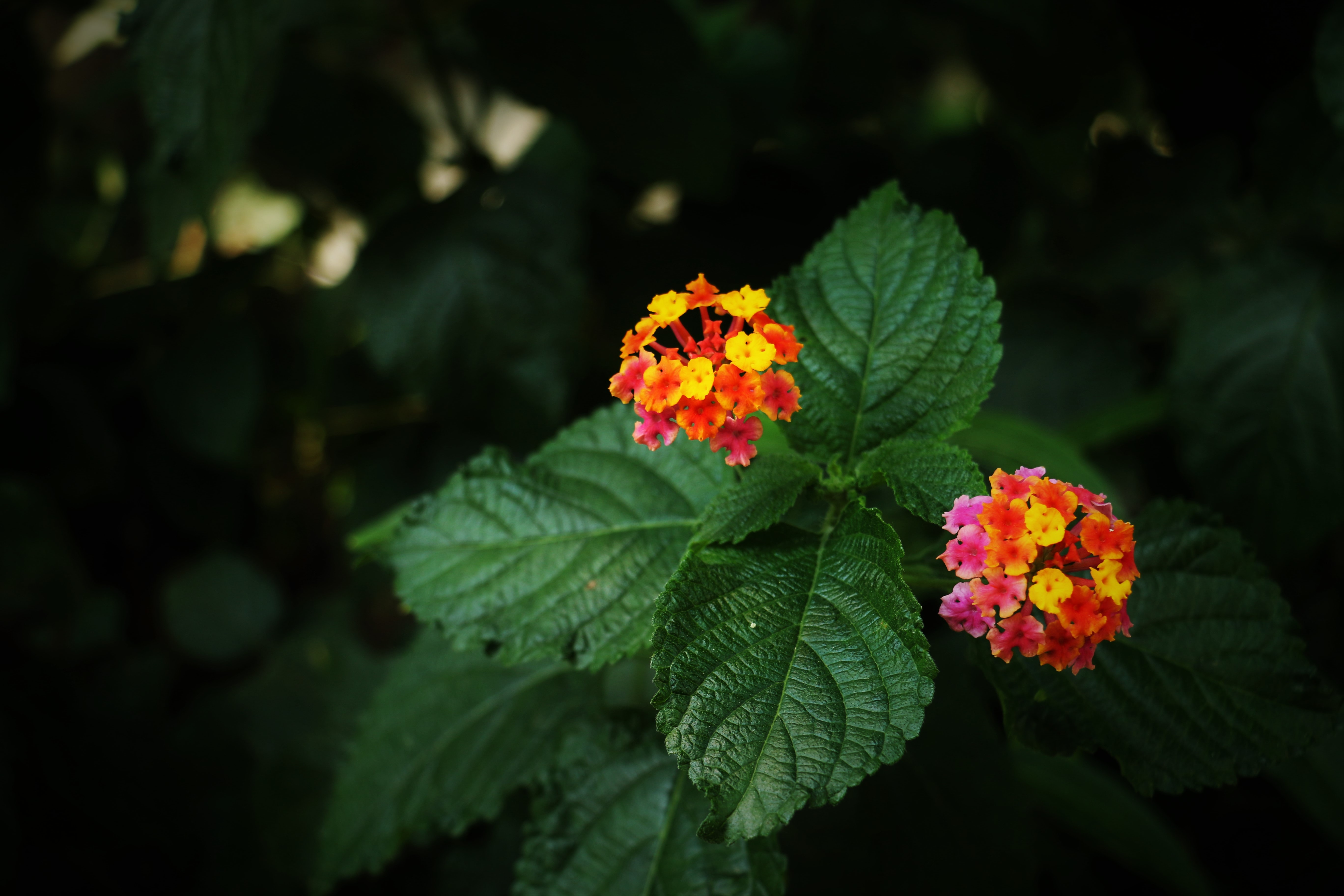 Close up of a plant with clusters of yellow, pink and red flowers