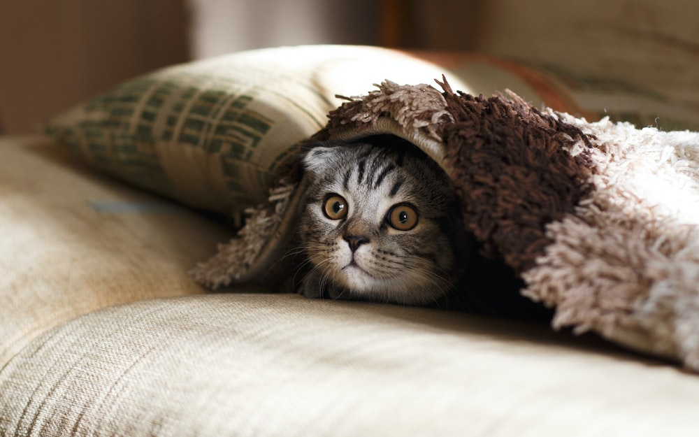 brown Scottish fold in brown thick-pile blanket