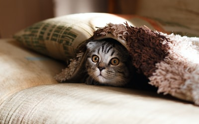 brown scottish fold in brown thick-pile blanket cat zoom background