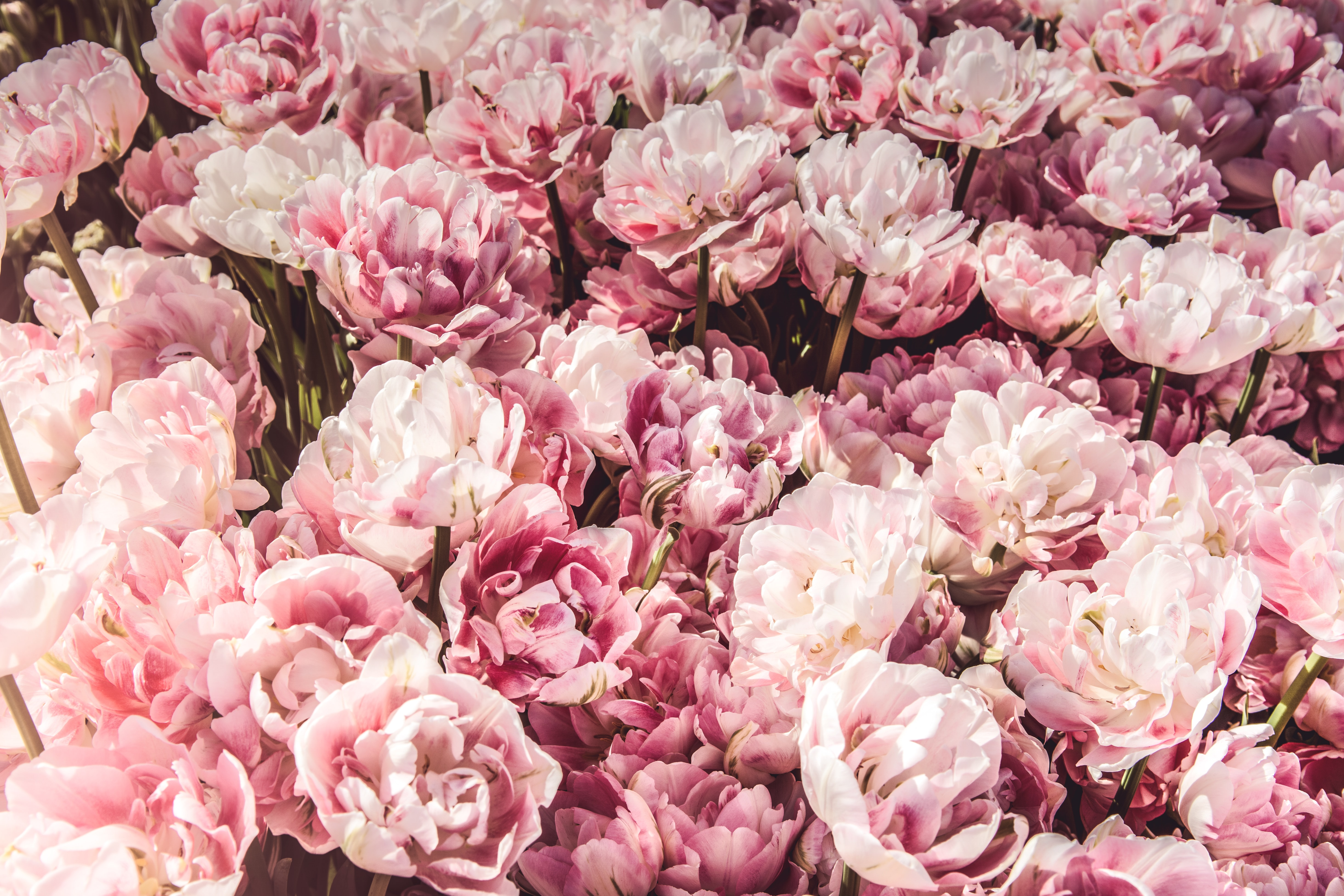 An overhead shot of a large bed of pink peonies