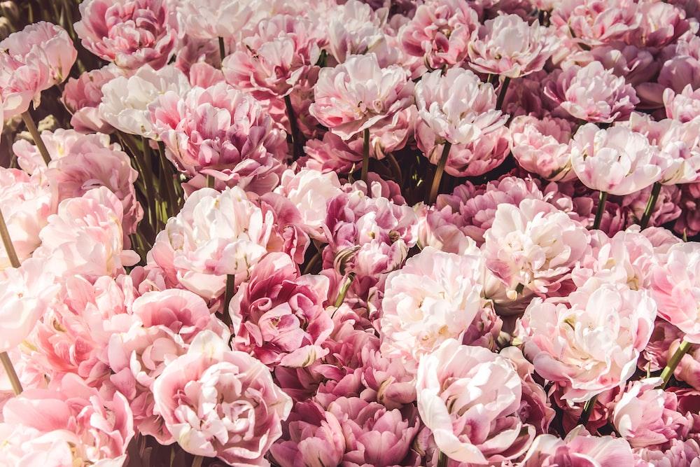 Dense pink peonies photo by miroslava miroslava on unsplash bed on pink peony flowers mightylinksfo
