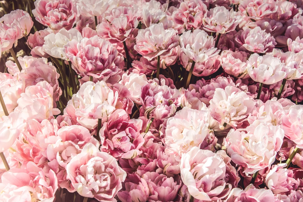 Pink flowers pictures hd download free images on unsplash bed on pink peony flowers mightylinksfo