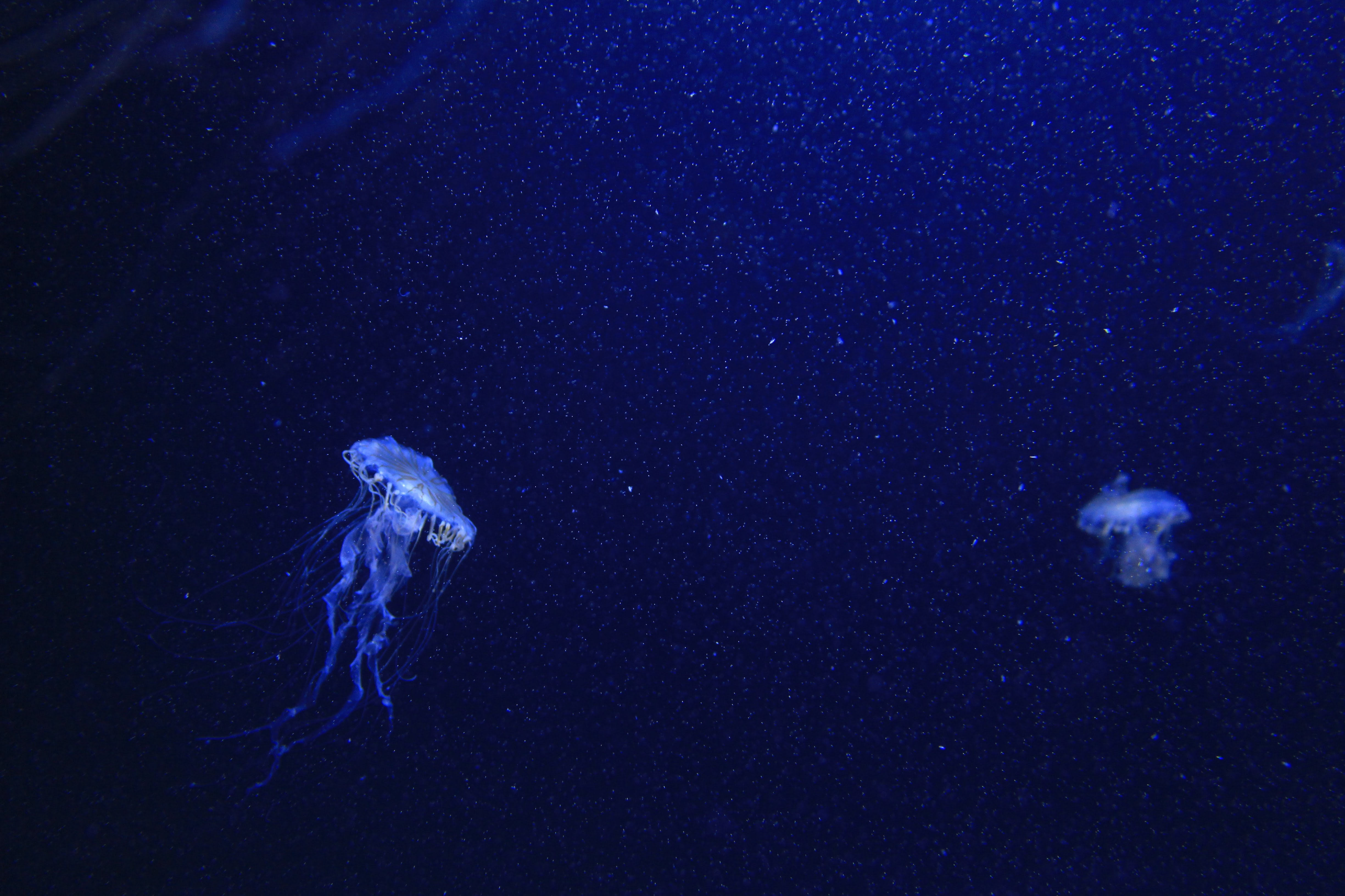 blue jelly fishes