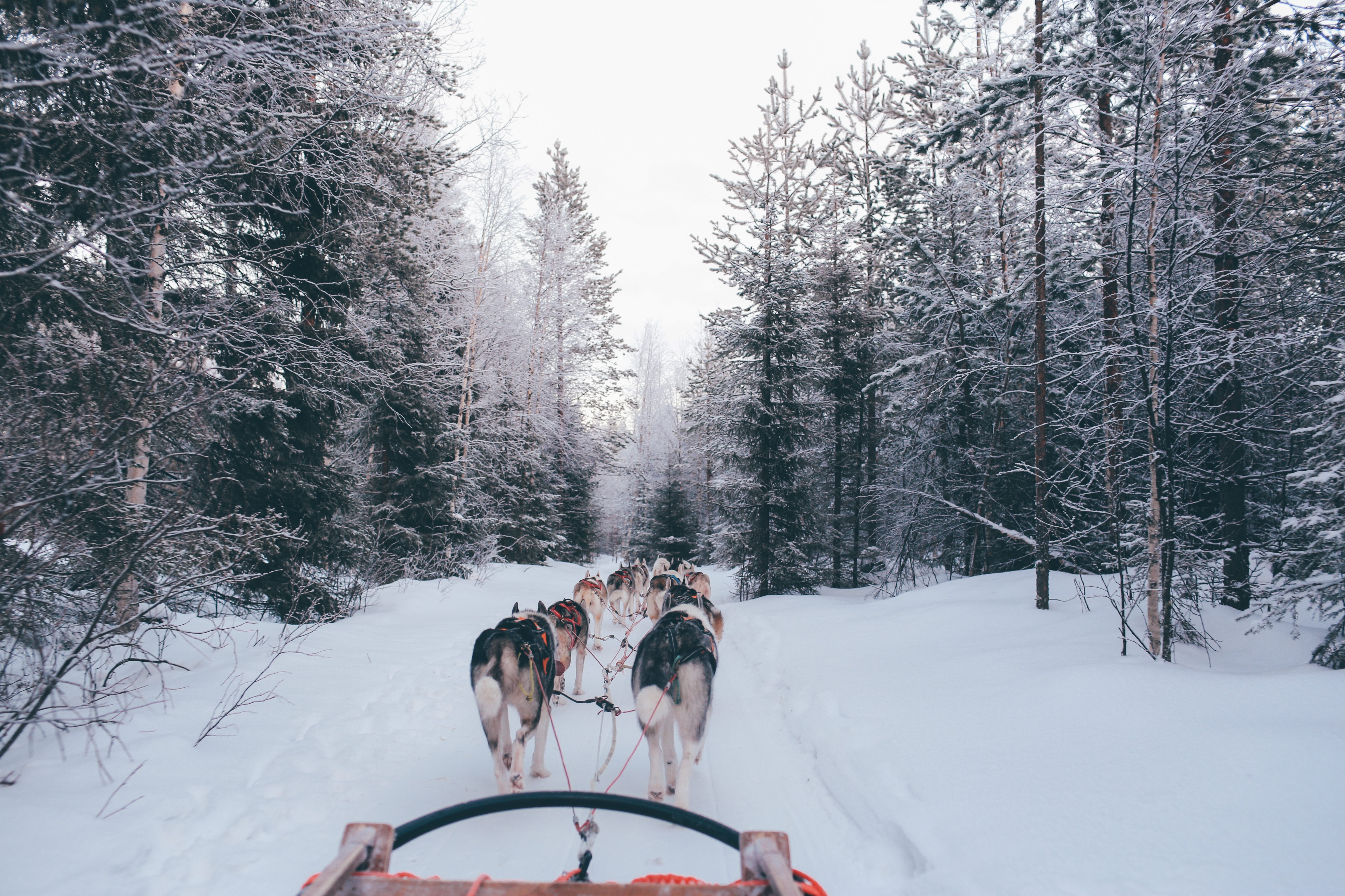 Dog sled pulled by dogs at wintery Santa Claus Village