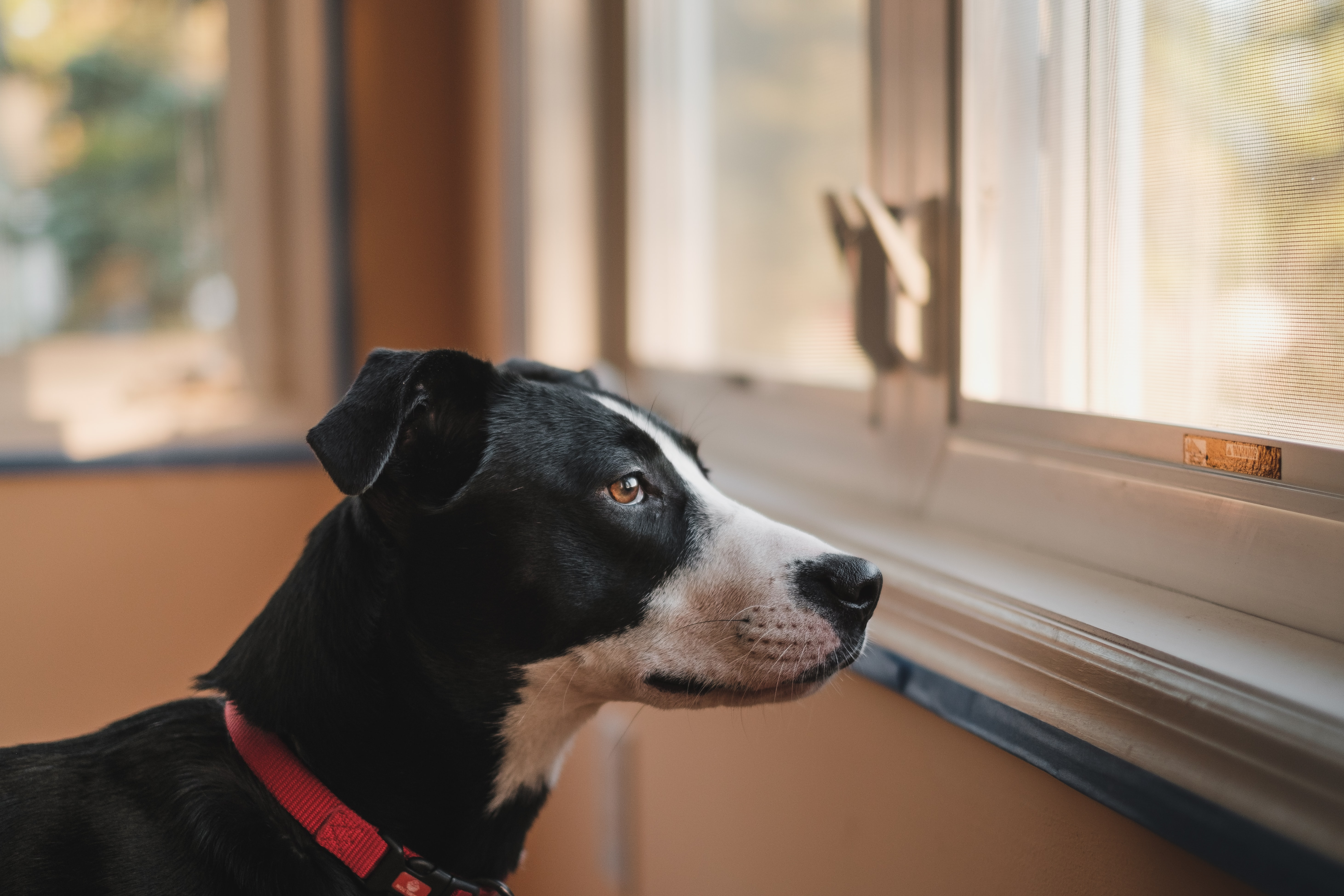 Black and white dog with red collar stares out of window from inside a tan room