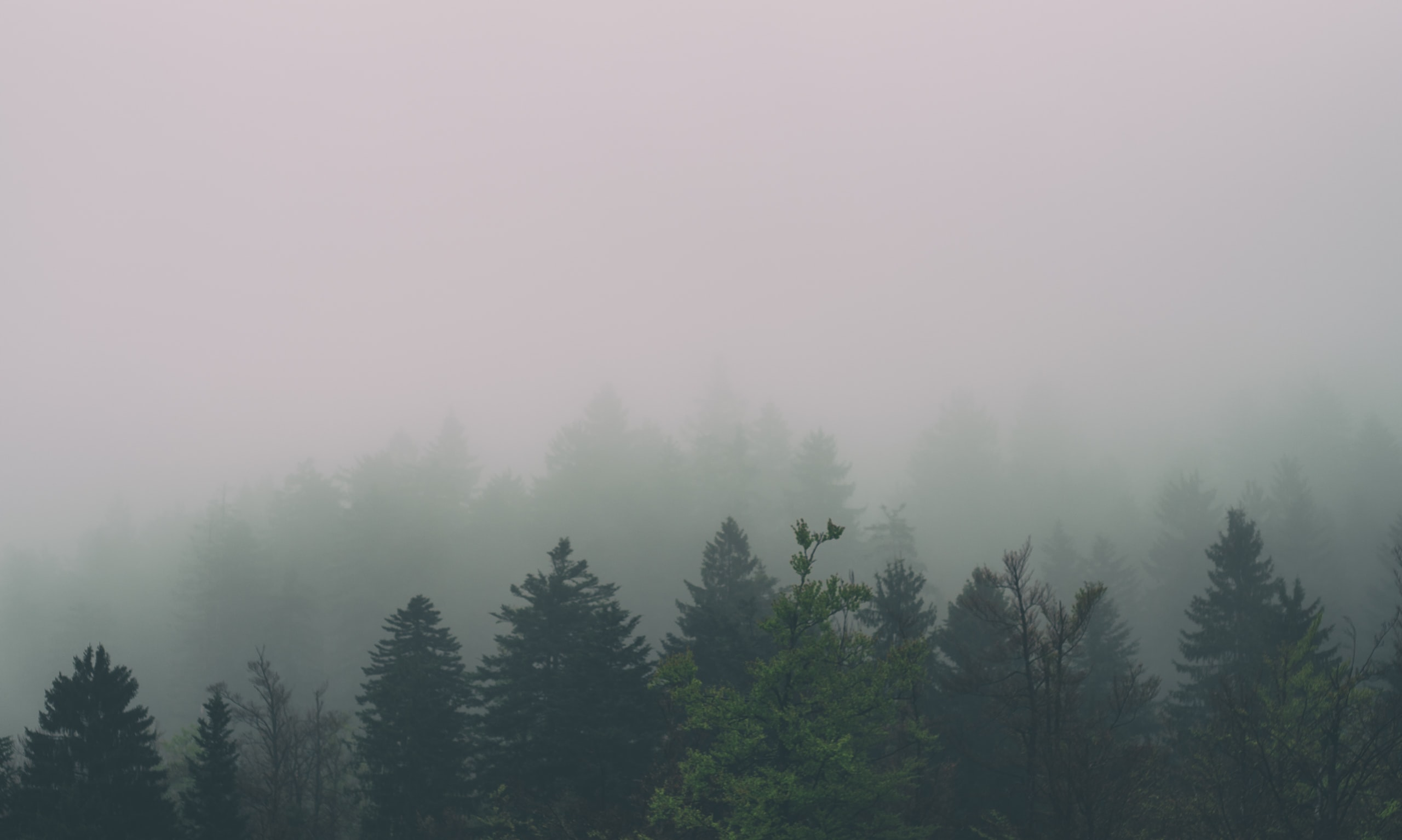 Silhouettes of evergreen trees shrouded in mist