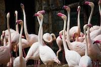 flocks of flamingo