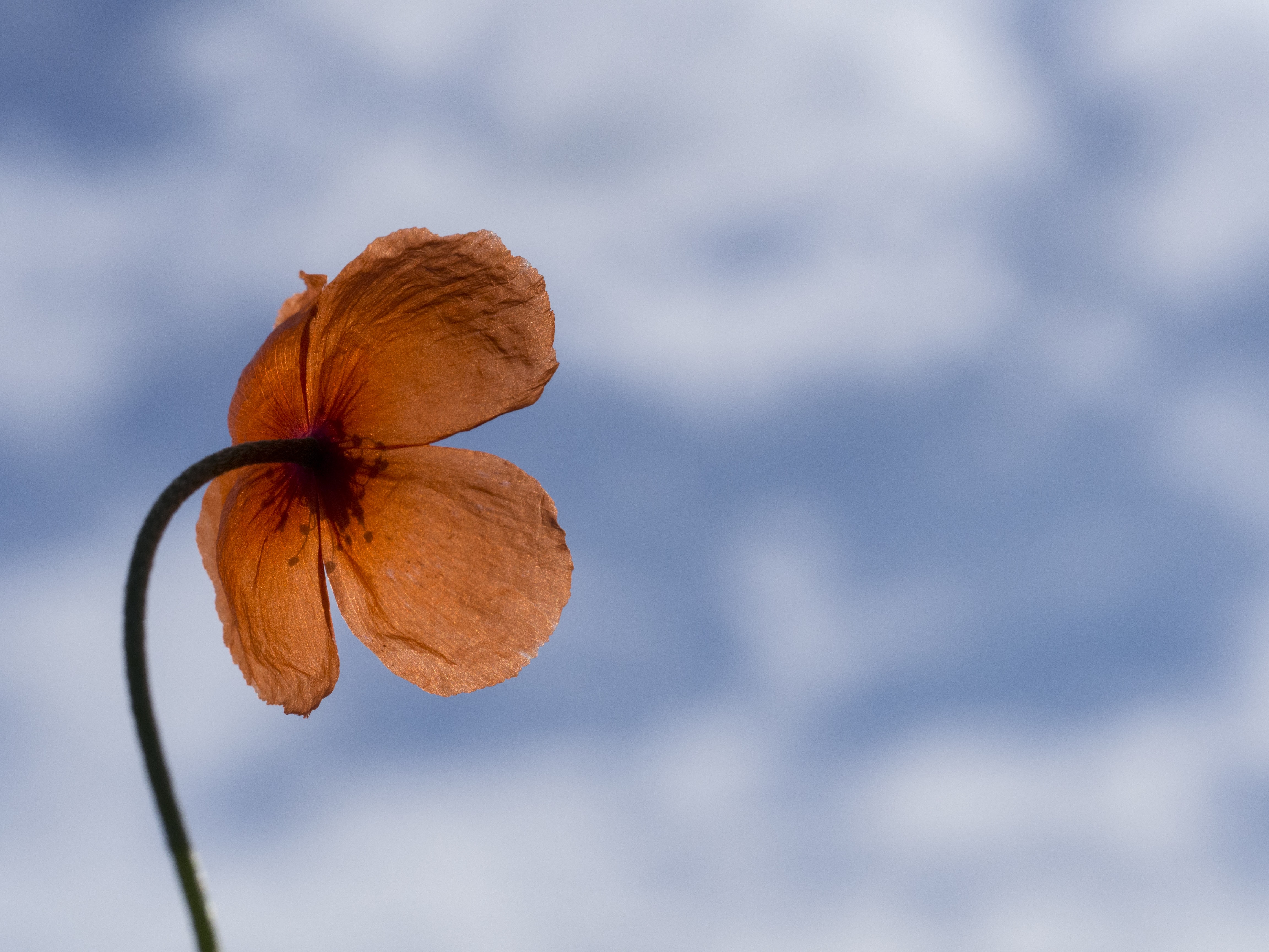 A Poppy flower against a blue sky