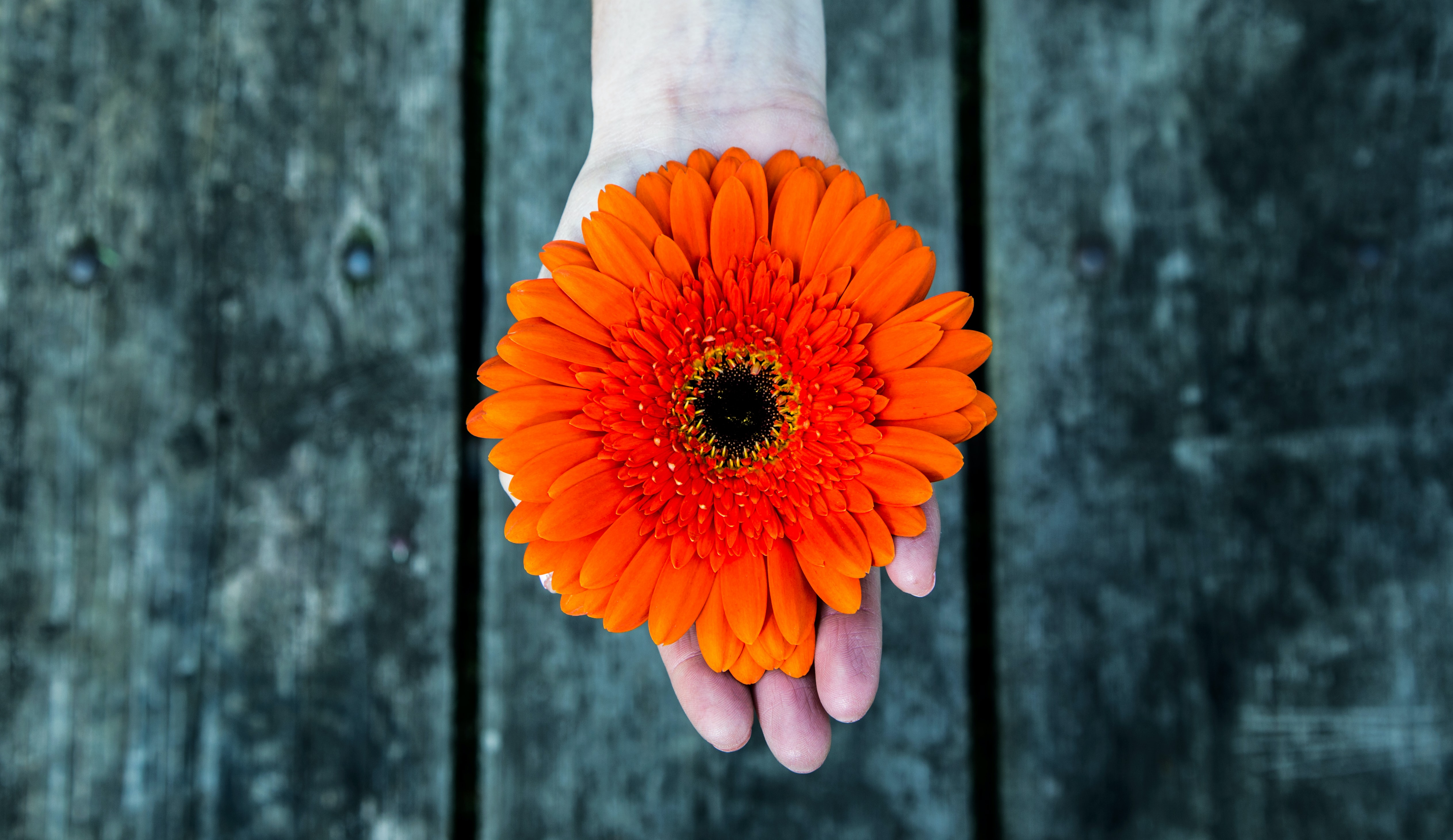 person holding orange flower photography