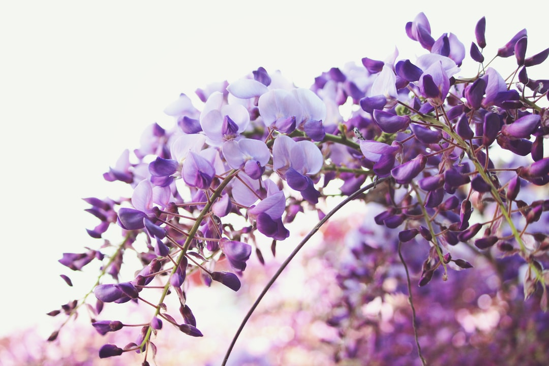 These wisteria blossoms bloom with some of the sweetest, most delicate fragrance.