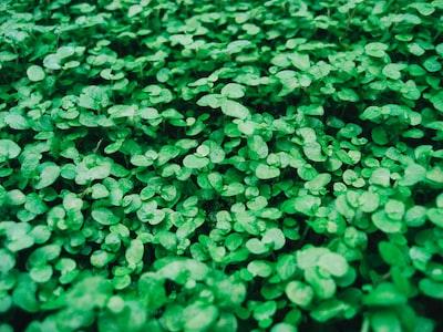 green leaf plant close-up photo shamrock zoom background