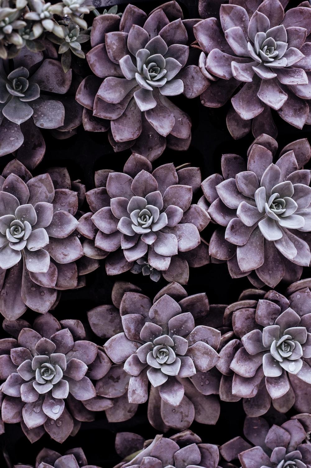 purple succulent plants
