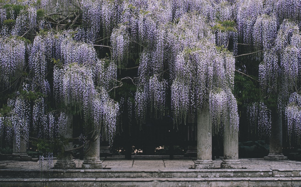 purple Wisteria flowering tree