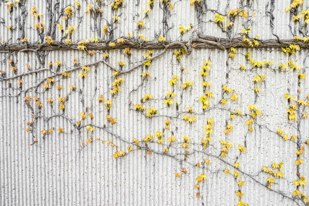 yellow flowers crawling on white wall