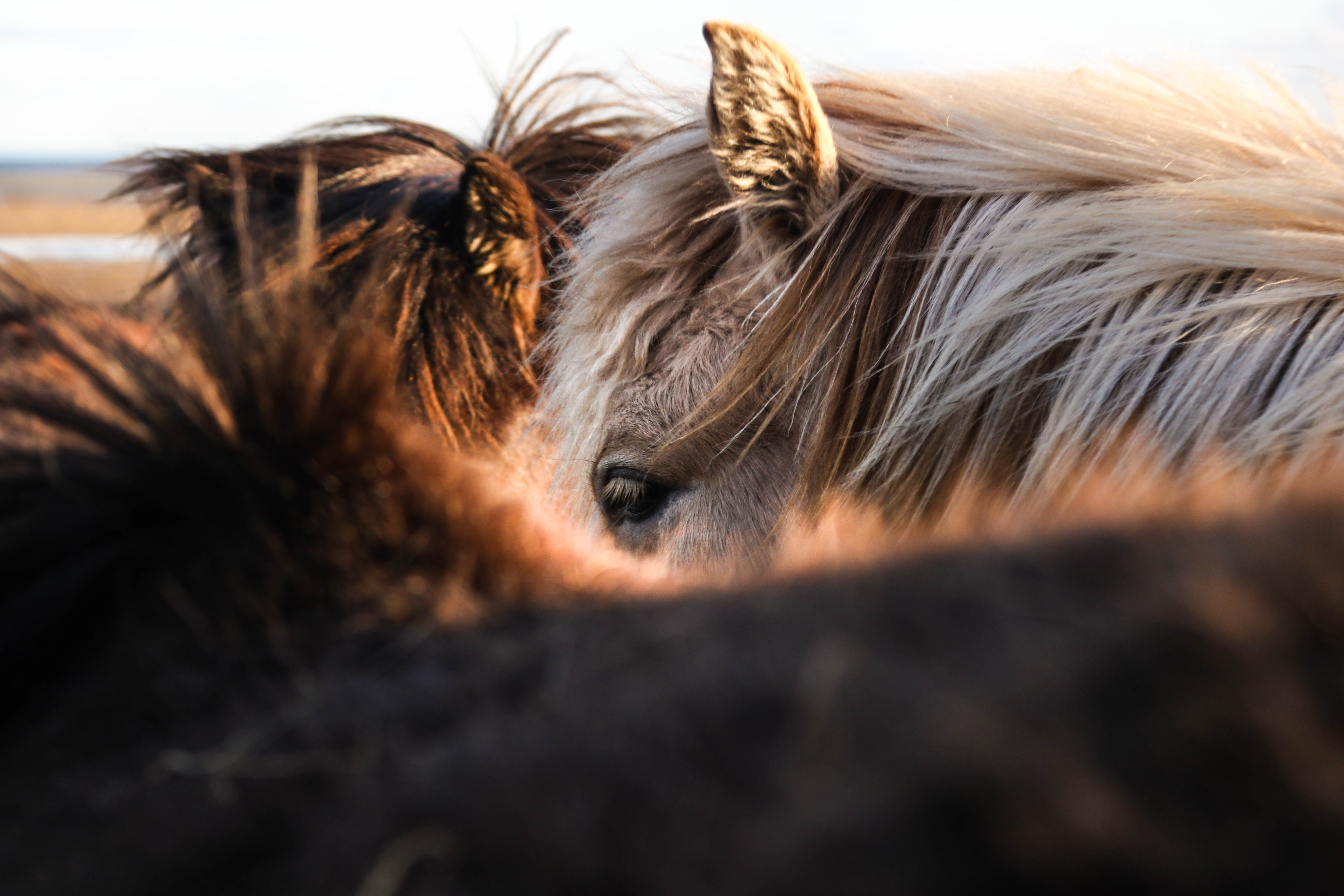 Close-up of several ponies nuzzling together