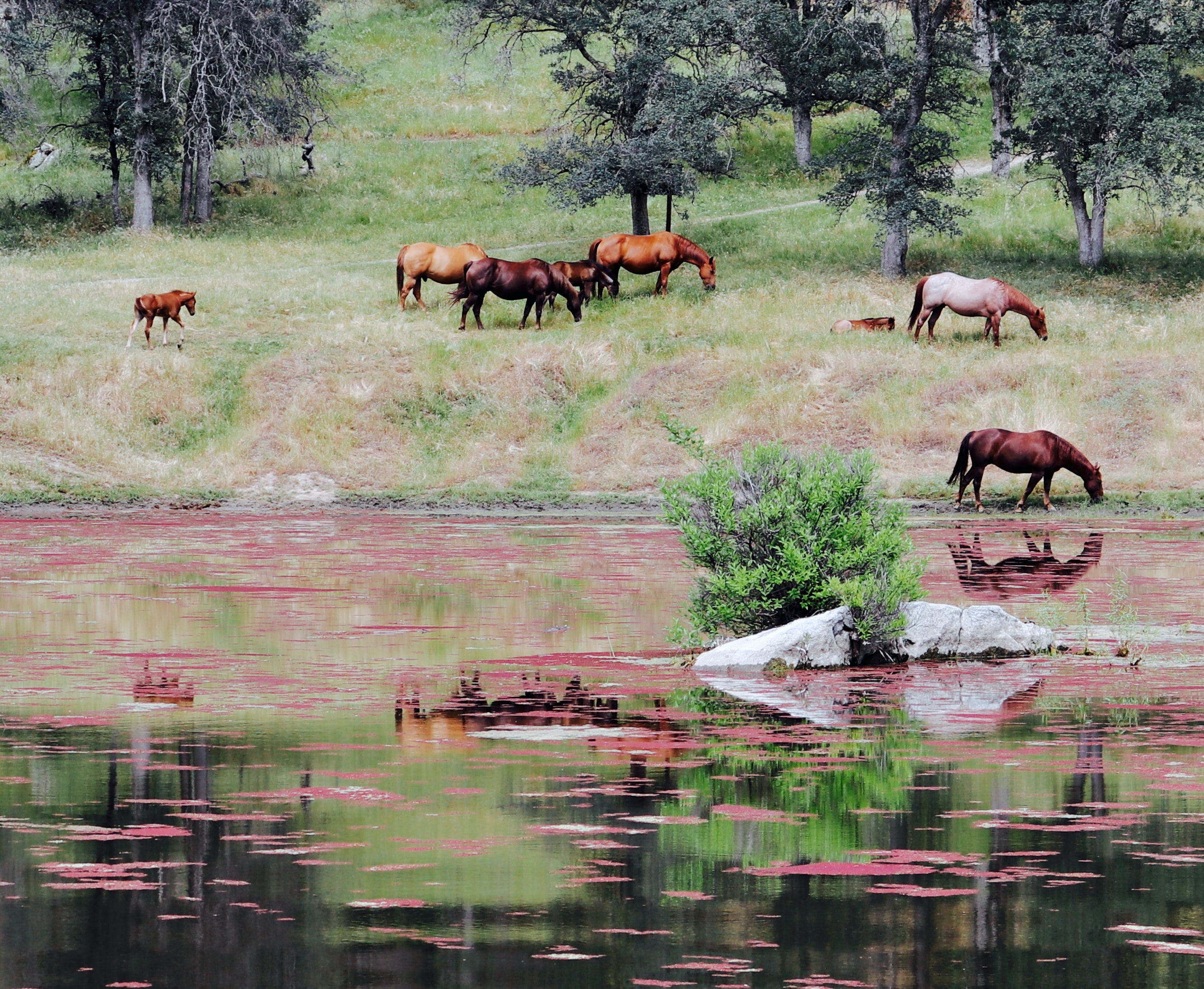 A group of foals and adult horses grazing on the shores of a lake