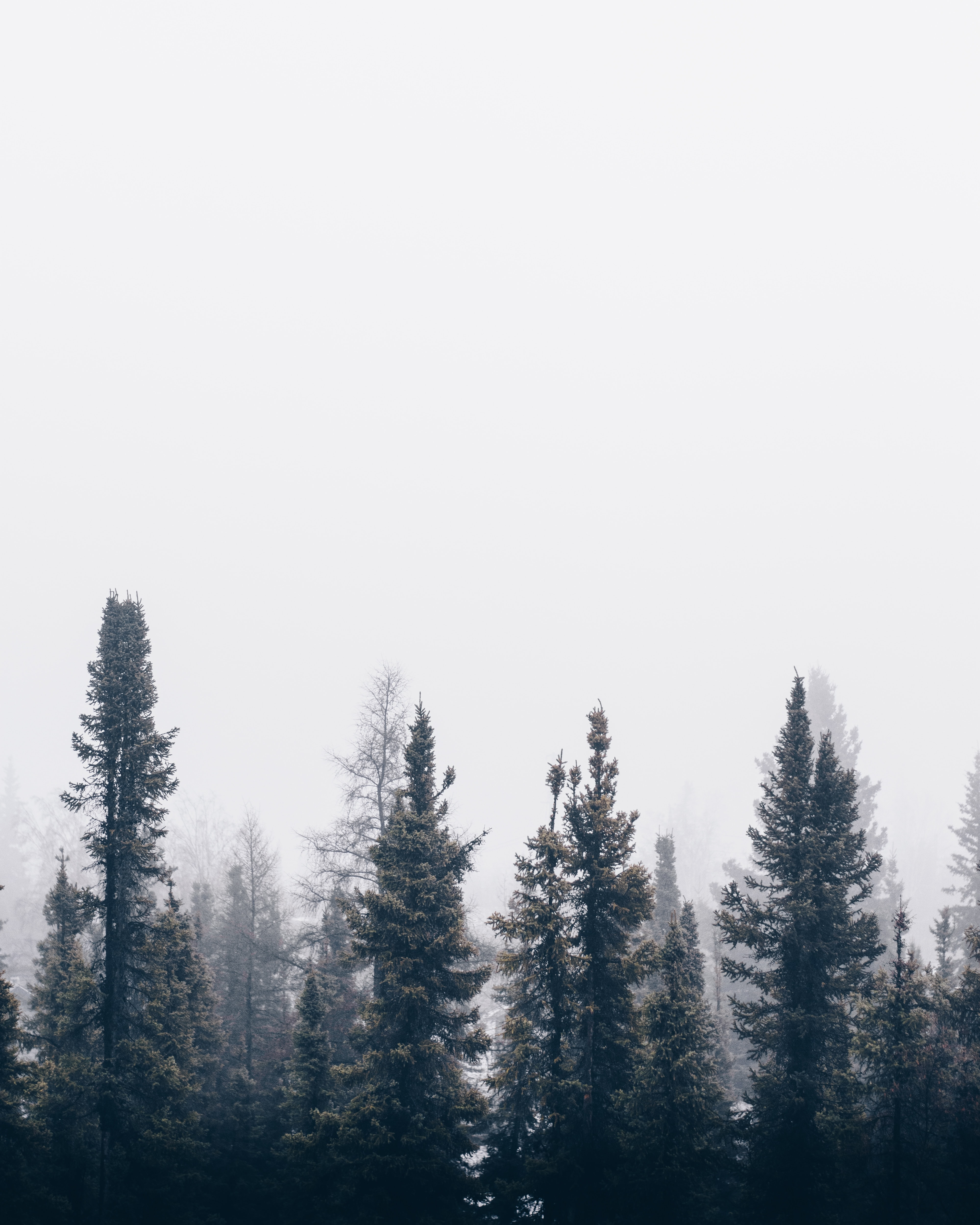 Tall pine trees shrouded in mist against a pale sky