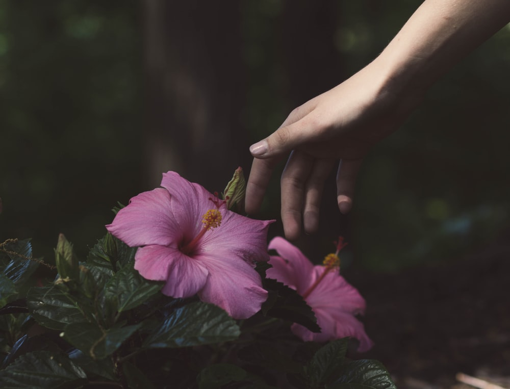 person about to touch the pink flower