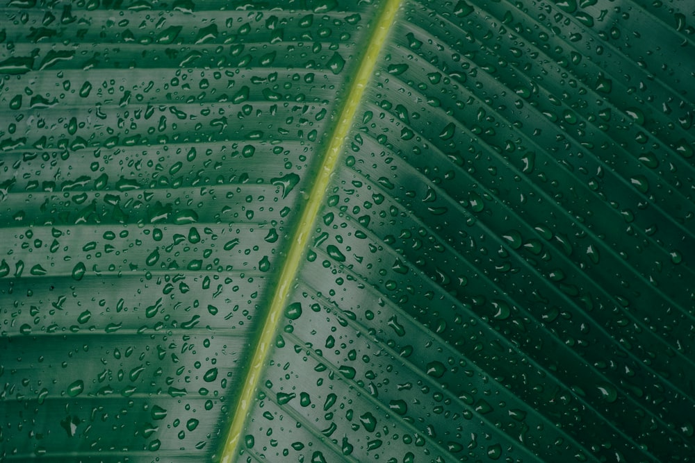 water droplets on banana leaf